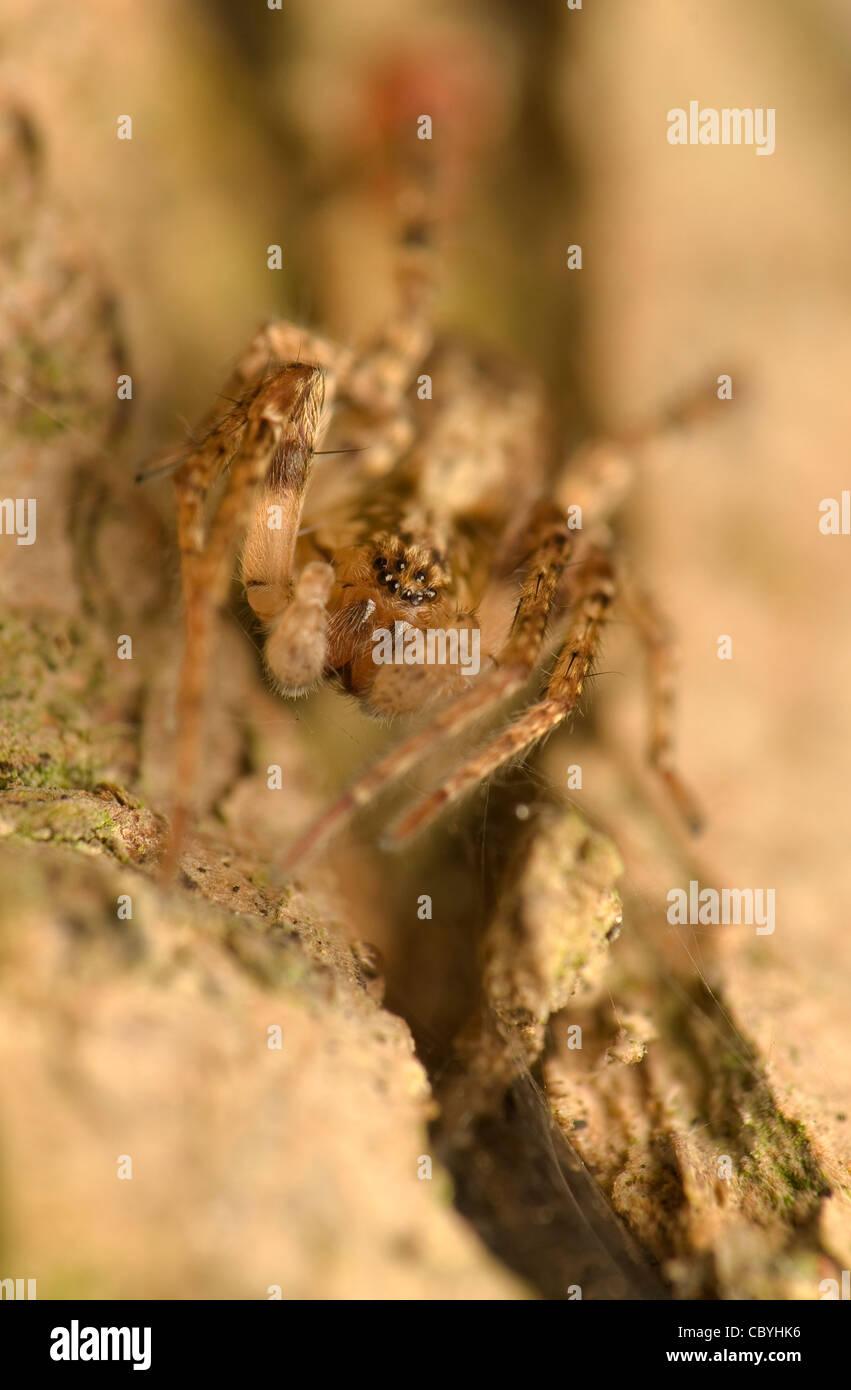 Amaurobiidae - Stock Image