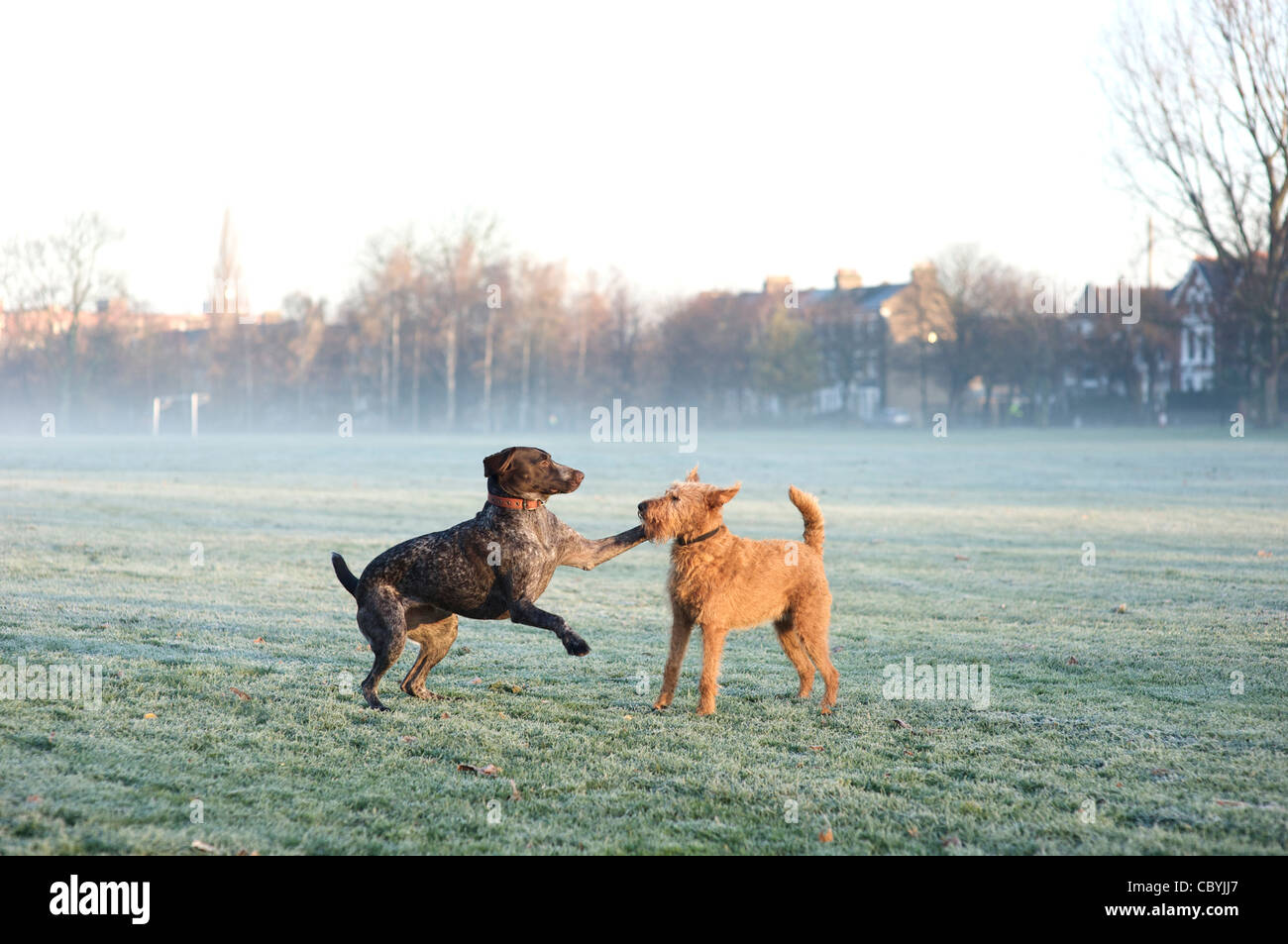 German Short Haired Pointer Stock Photos & German Short Haired ...