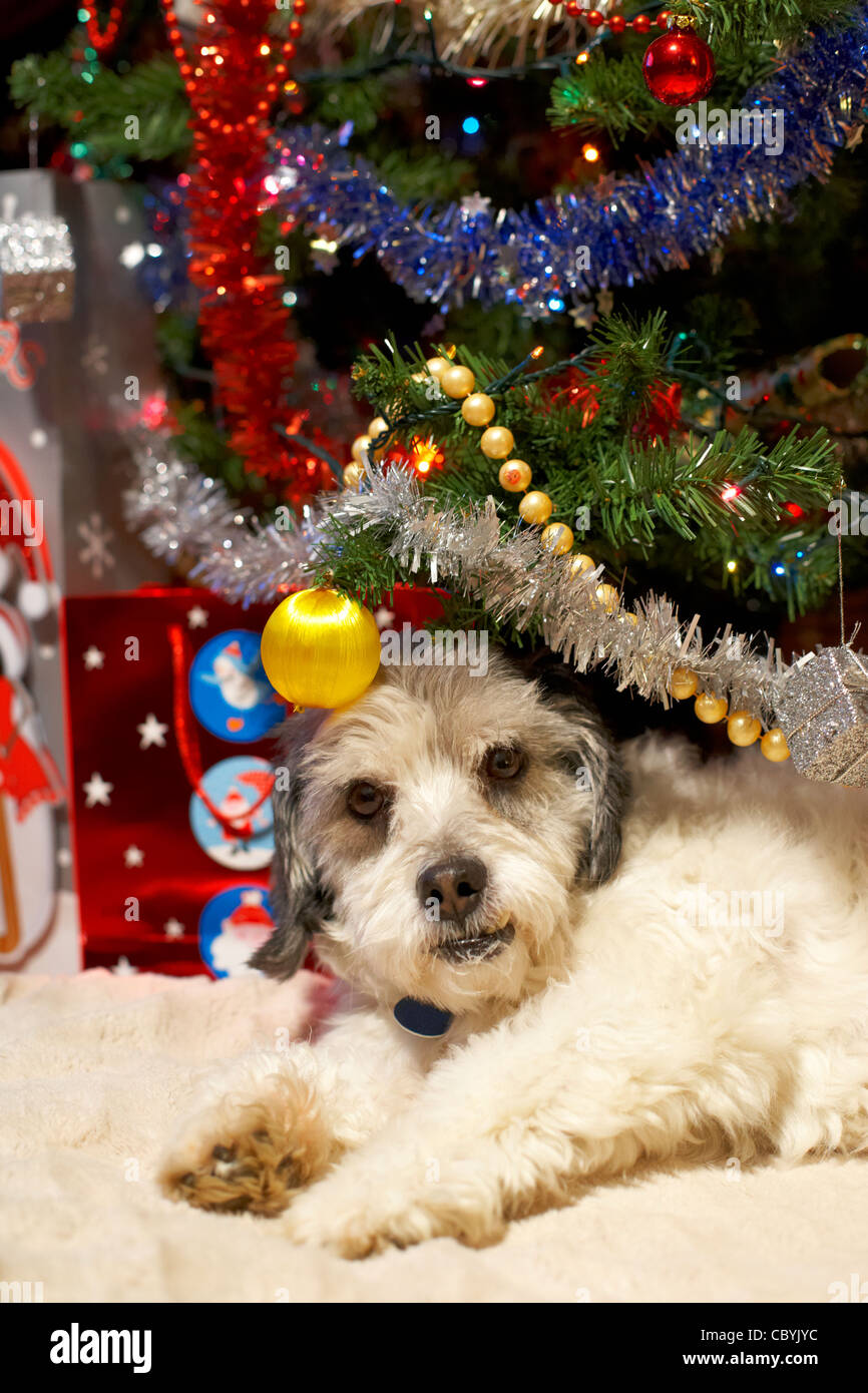 small mongrel dog family pet lying under the christmas tree - Stock Image