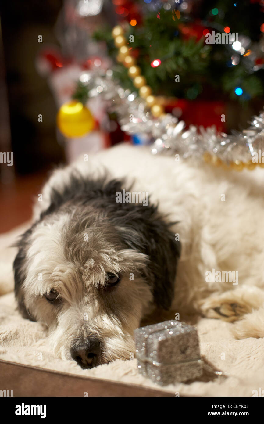 small mongrel dog family pet lying under the christmas tree with christmas present decoration Stock Photo