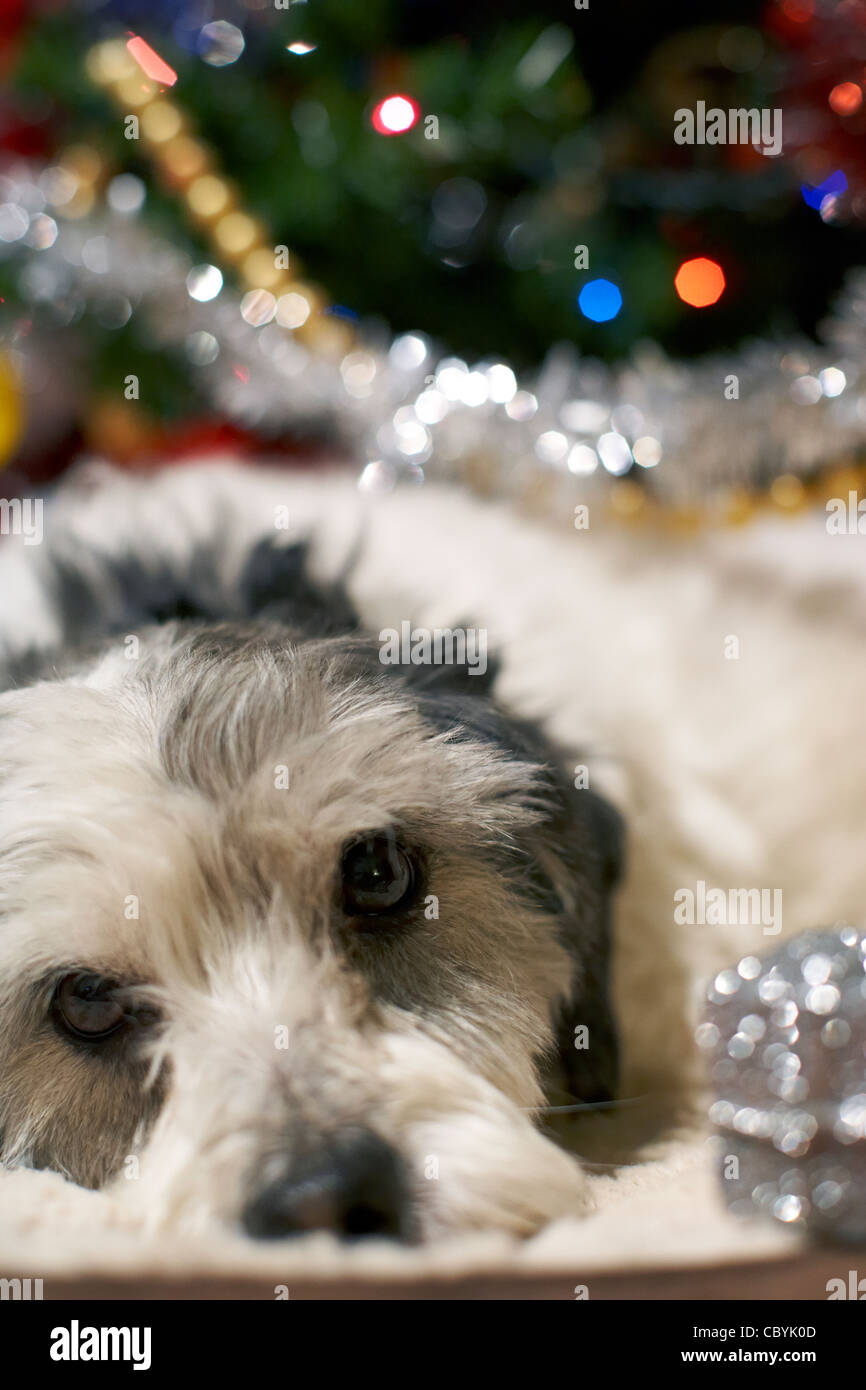 small mongrel dog family pet lying under the christmas tree with christmas present decoration - Stock Image