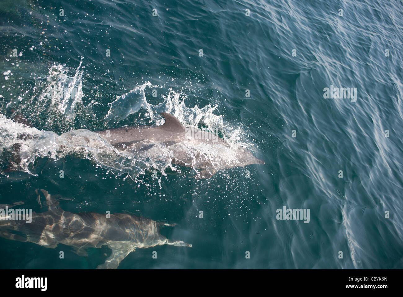 Pantropical spotted dolphin, Stenella attenuata, Mexico - Stock Image