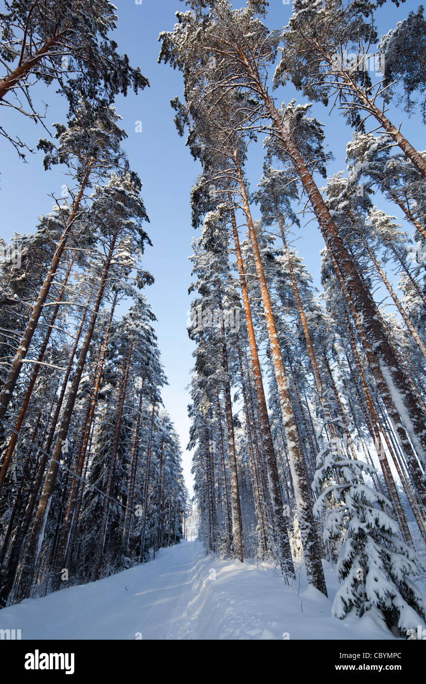 Snow road forest pine trees stock photos snow road - Images of pine trees in snow ...