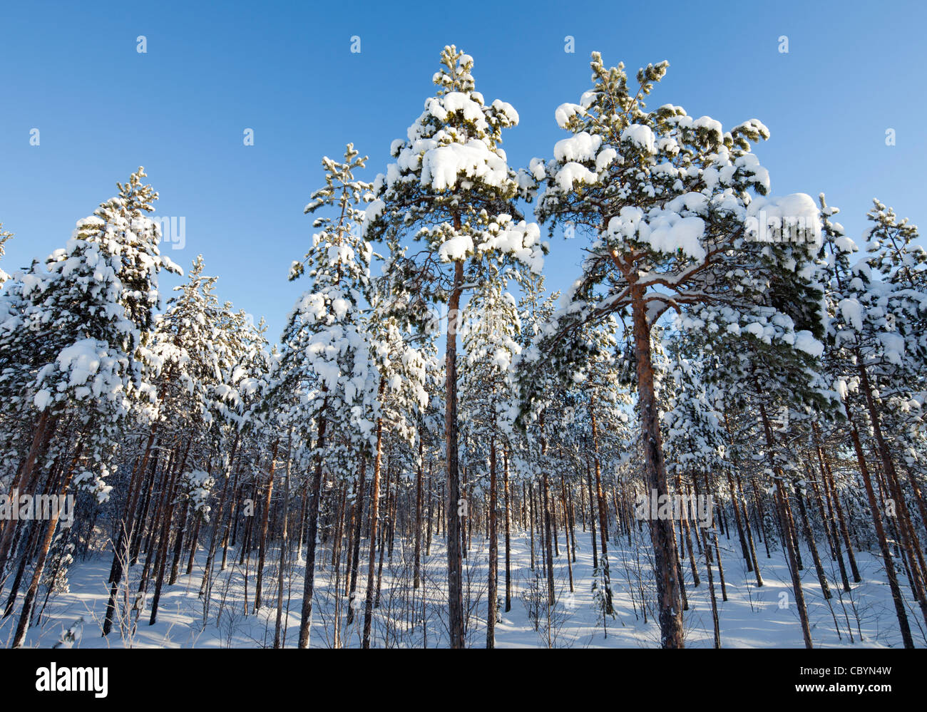 Young pine ( pinus sylvestris ) saplings at forest at Winter ,  growing on an old bog , Finland - Stock Image