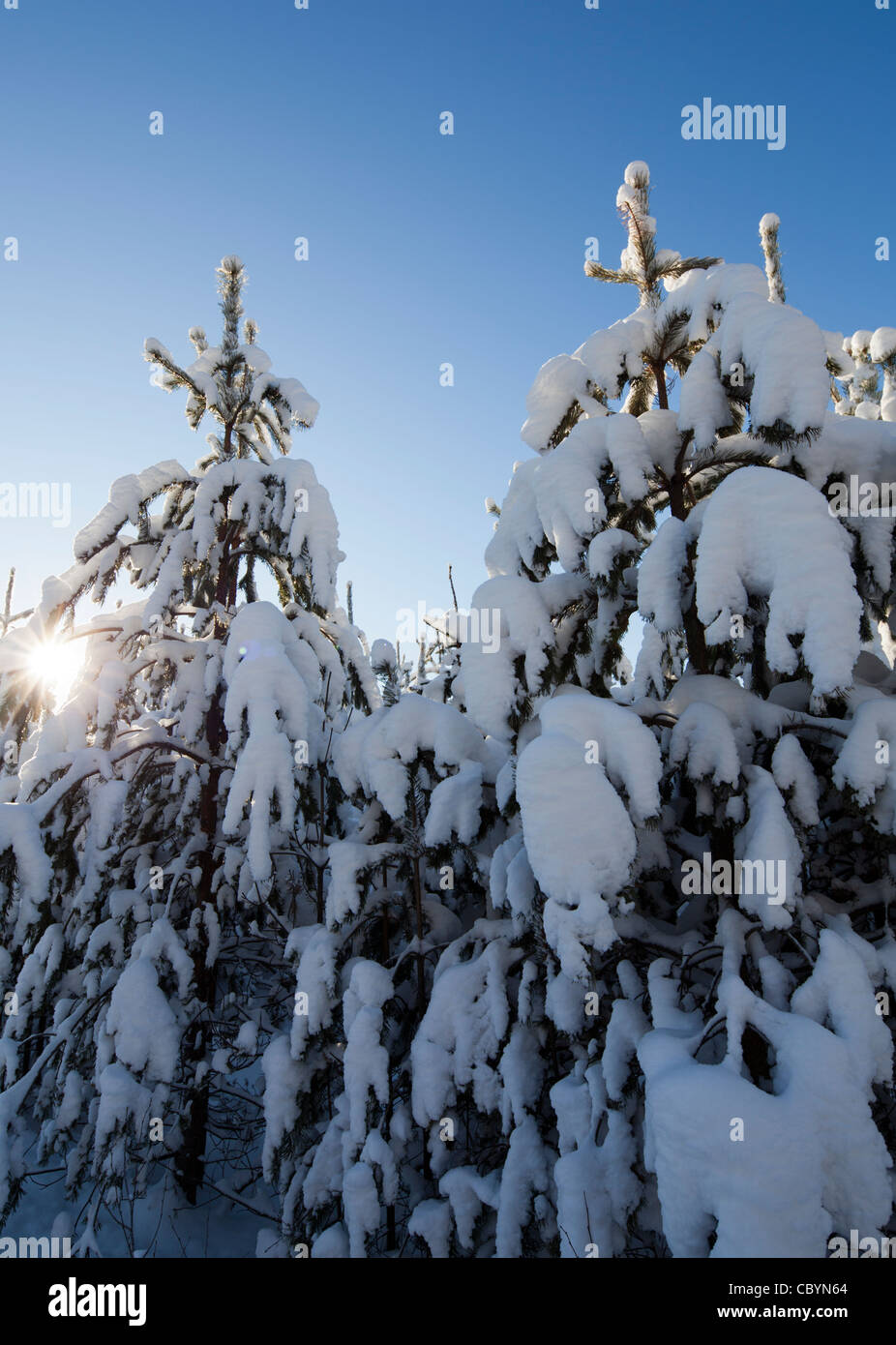 Young pine ( pinus sylvestris ) saplings at forest at Winter , Finland - Stock Image