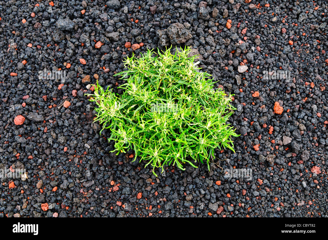 ANTIGUA, Guatemala - A plant manages to grow in the thick layer of volcanic gravel near the summit of Pacaya Volcano. - Stock Image