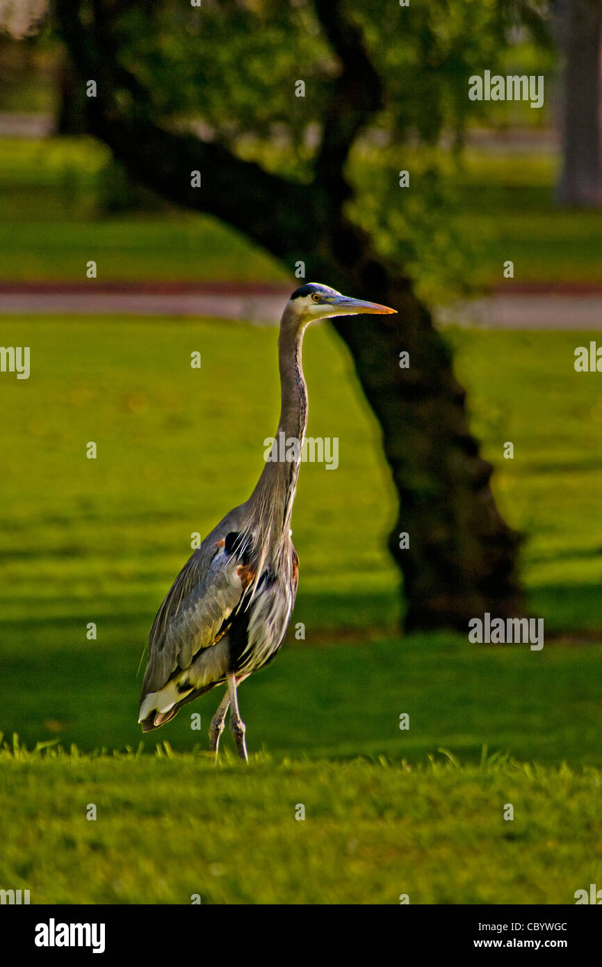 The Great Blue Heron (Ardea herodias) is a large wading bird in the heron family Ardeidae, common near water and - Stock Image
