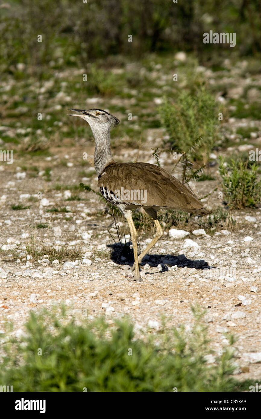 Kori Bustard - Etosha National Park - Namibia, Africa - Stock Image
