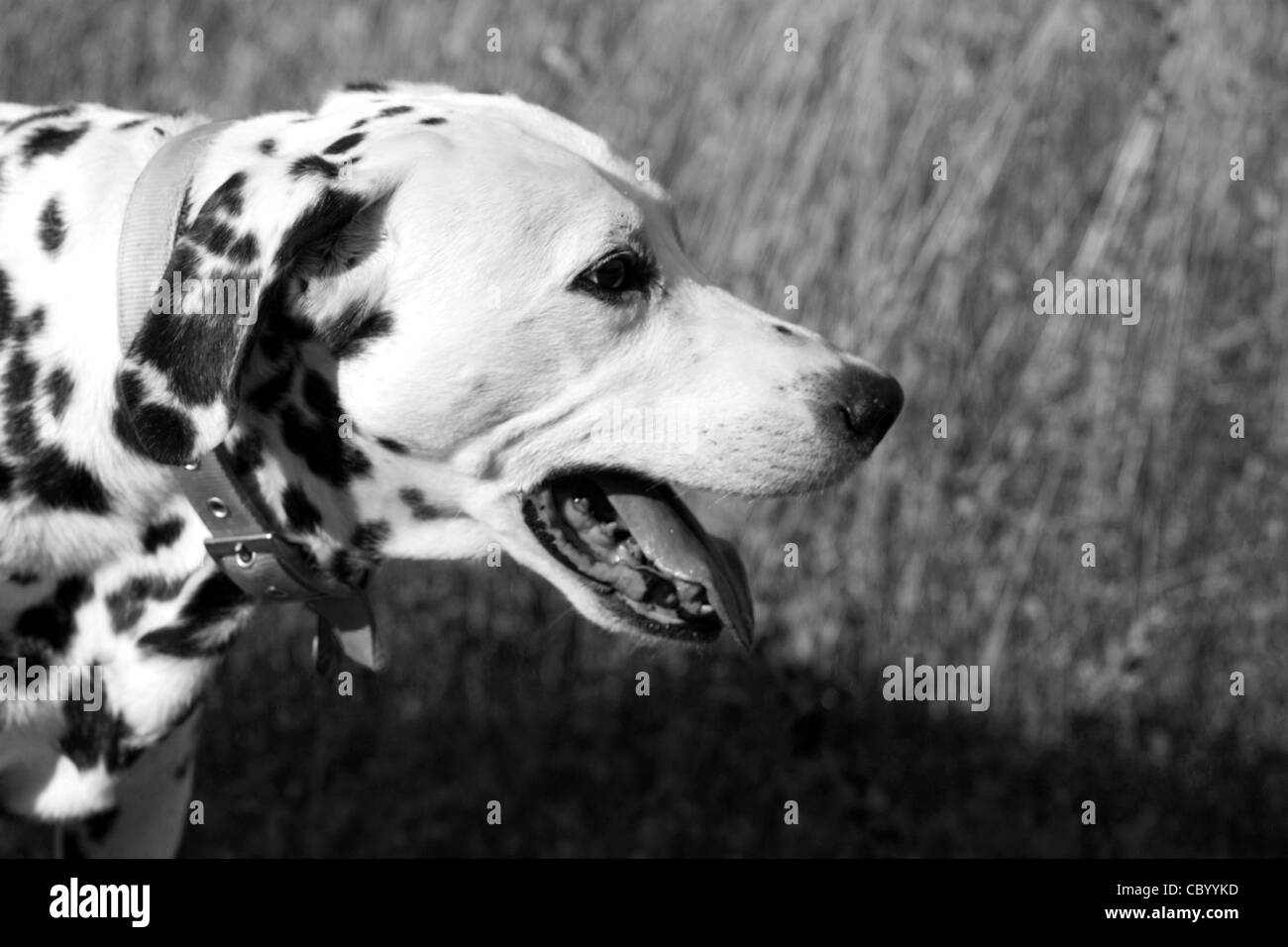 Profile portrait of a panting Dalmatian dog adjusted to b/w - Stock Image