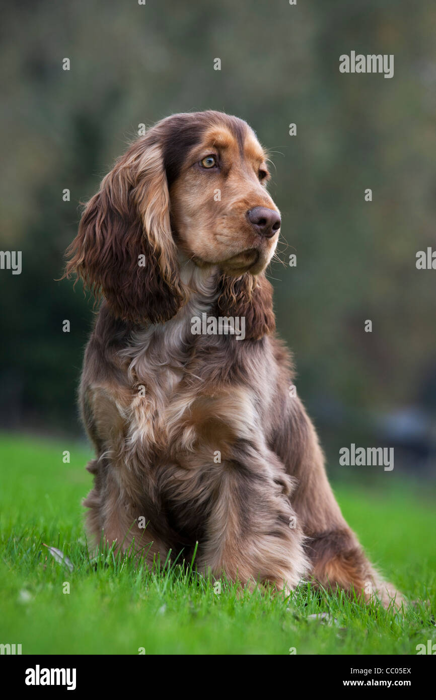 English Cocker Spaniel dog sitting in garden - Stock Image