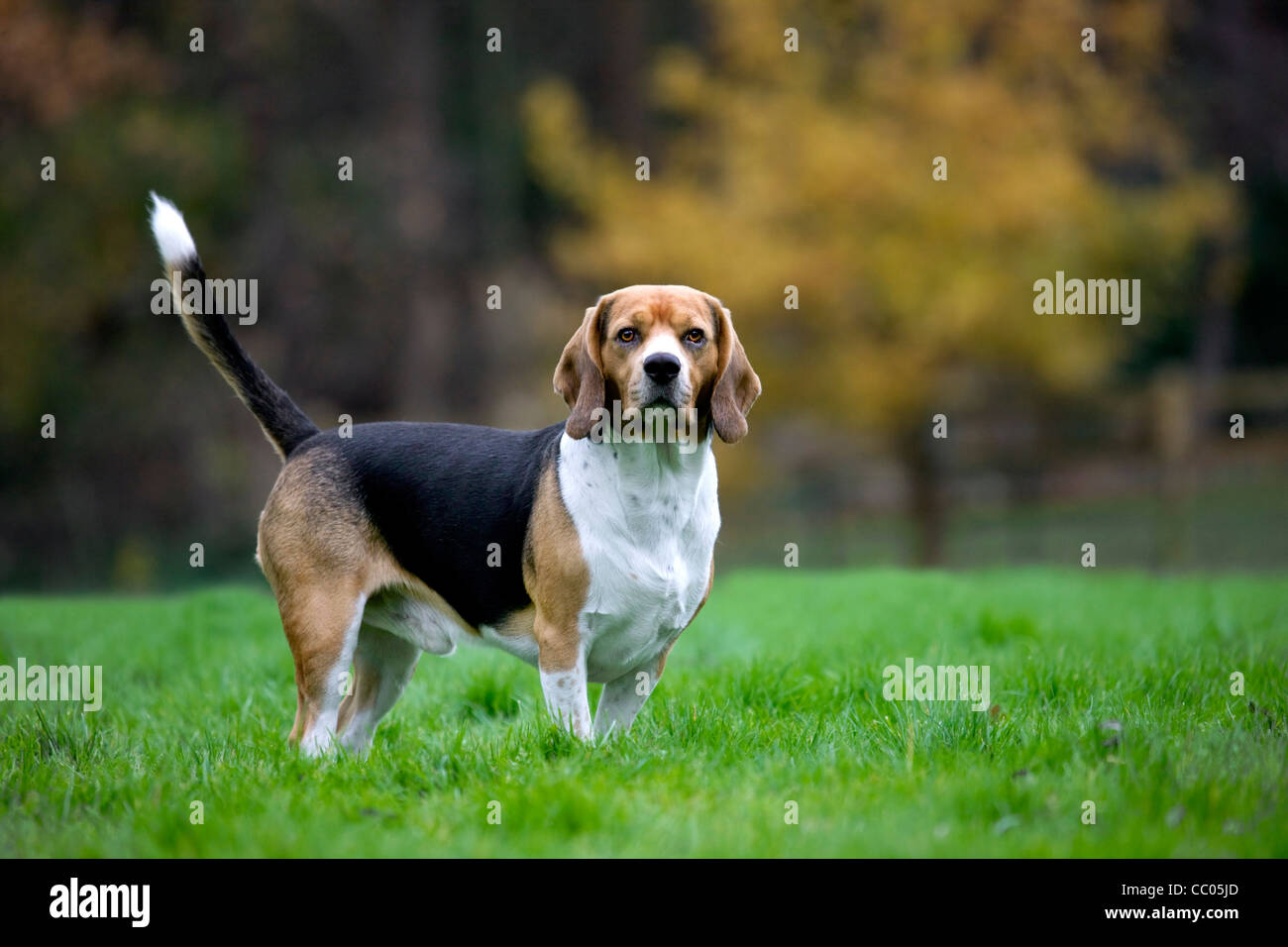 Tricolour Beagle dog in garden - Stock Image