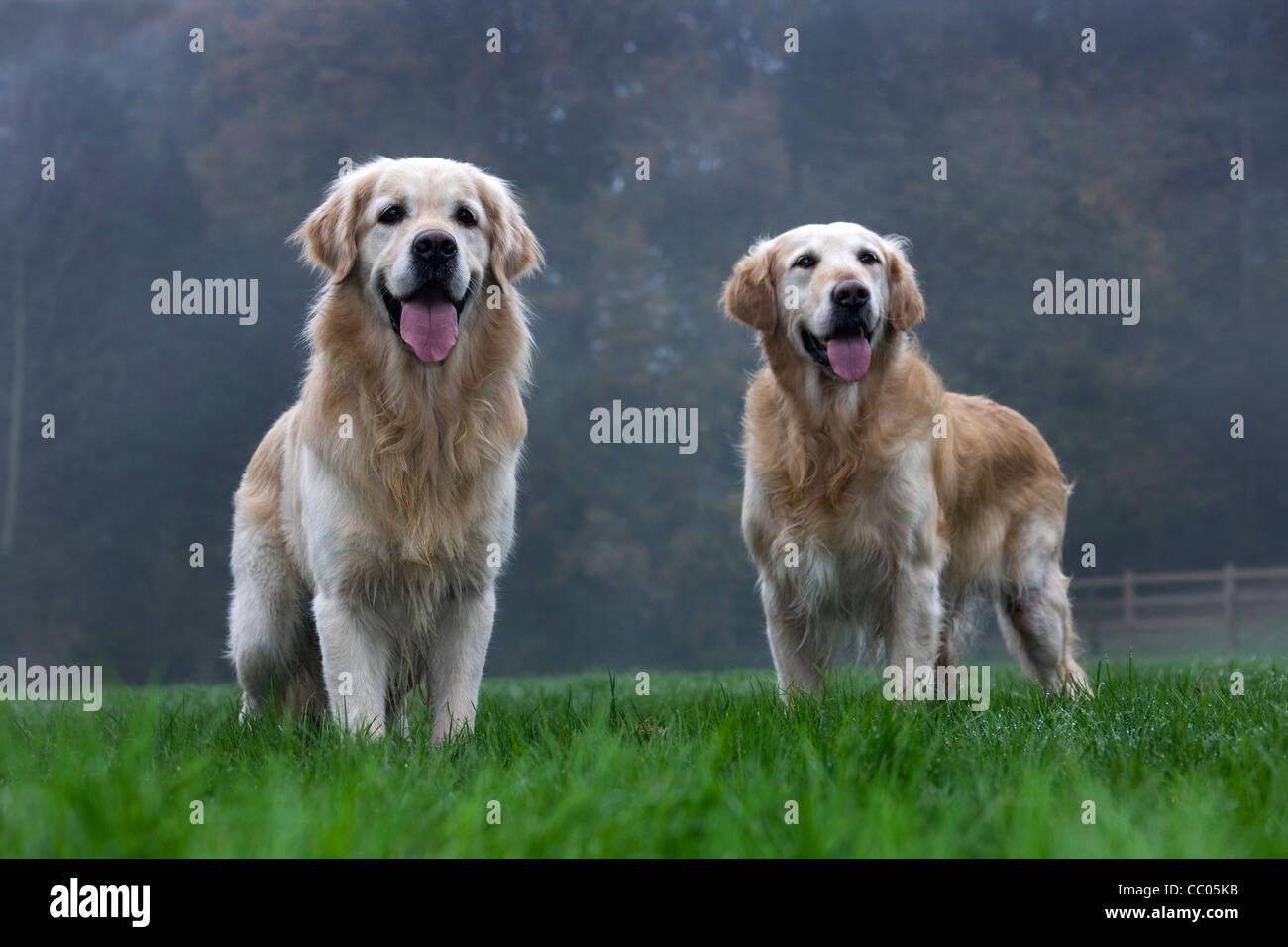 Couple Golden retrievers in garden - Stock Image