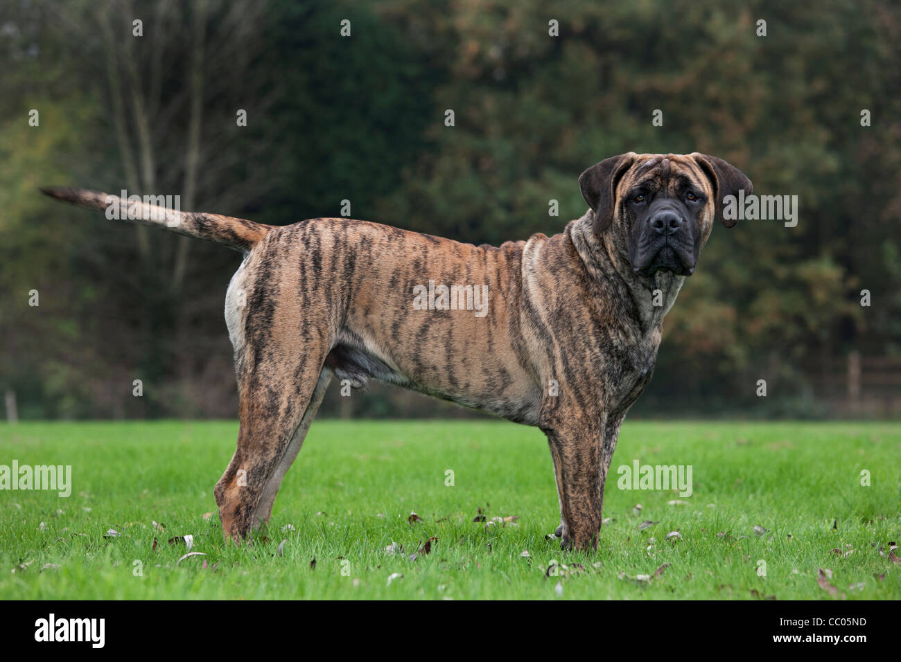 Boerboel, mastiff dog breed from South Africa Stock Photo