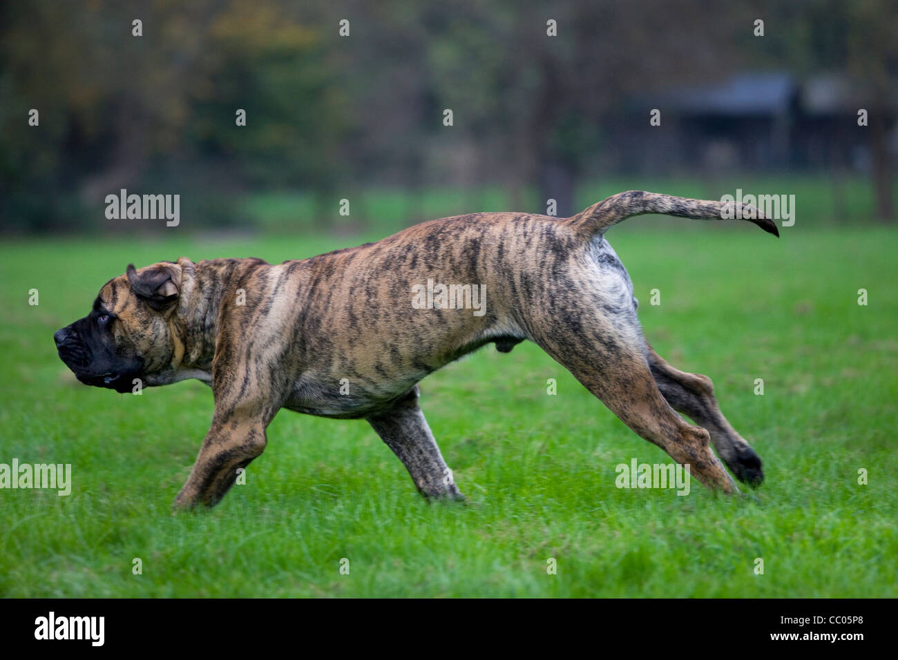 Boerboel, mastiff dog breed from South Africa, running in garden Stock Photo