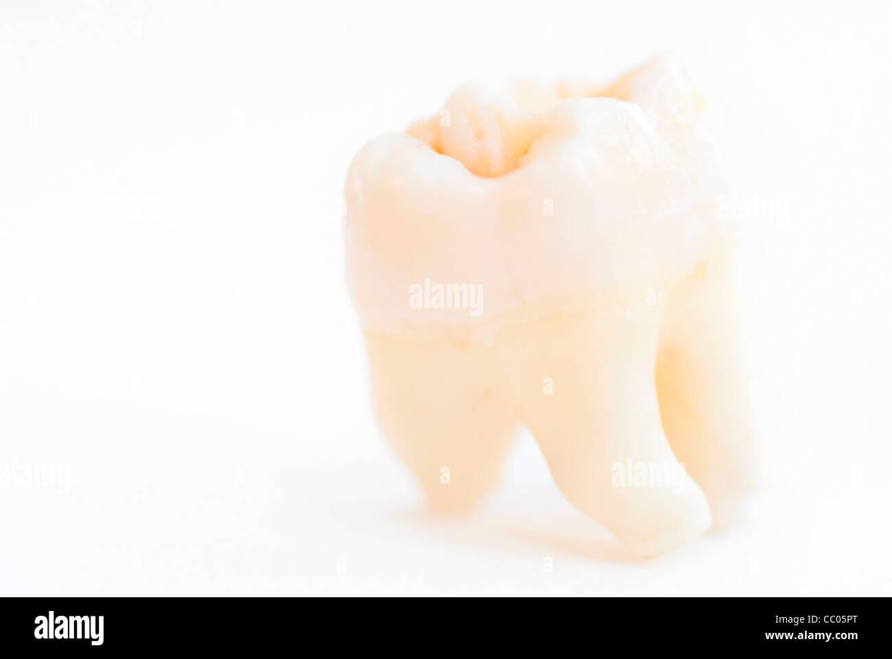 Macro shot of single human tooth. Focus set on top edge, Roots defocussed - Stock Image