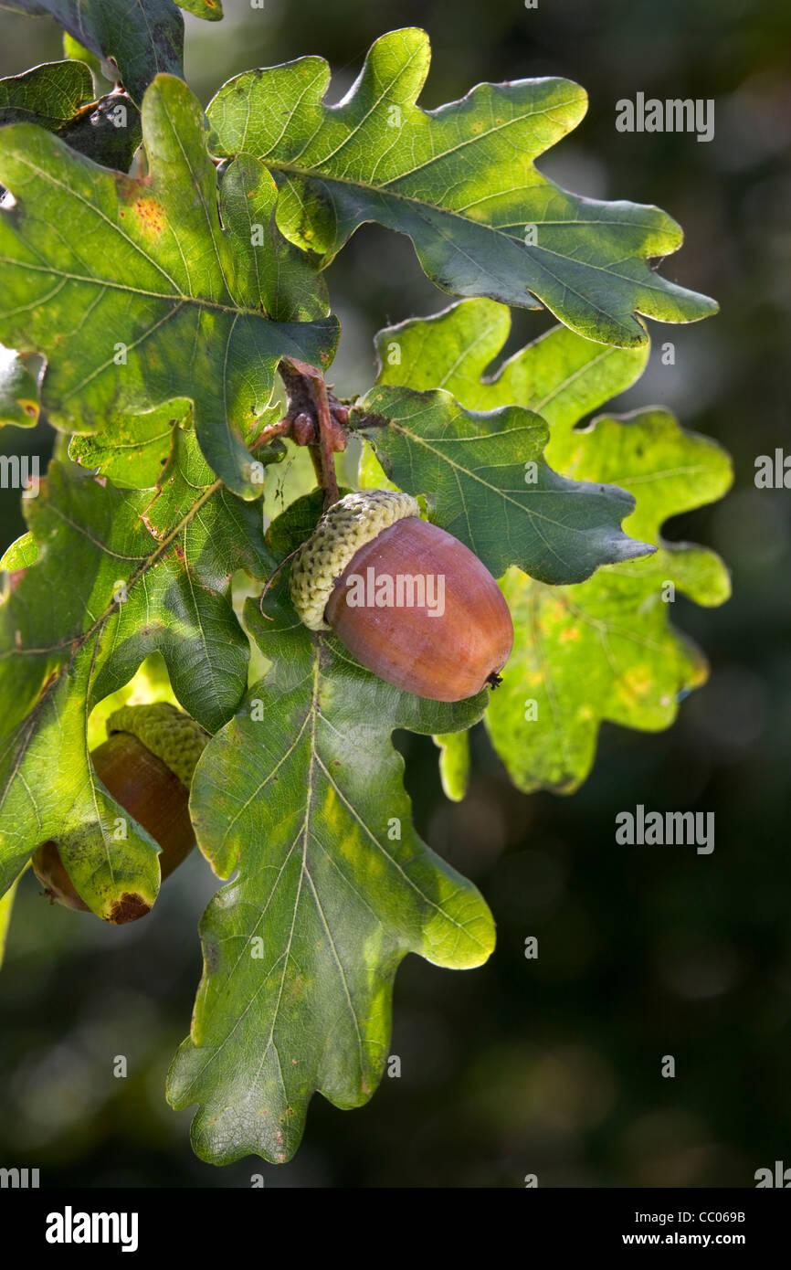 Acorns and leaves of English oak / pedunculate oak tree (Quercus robur), Belgium - Stock Image