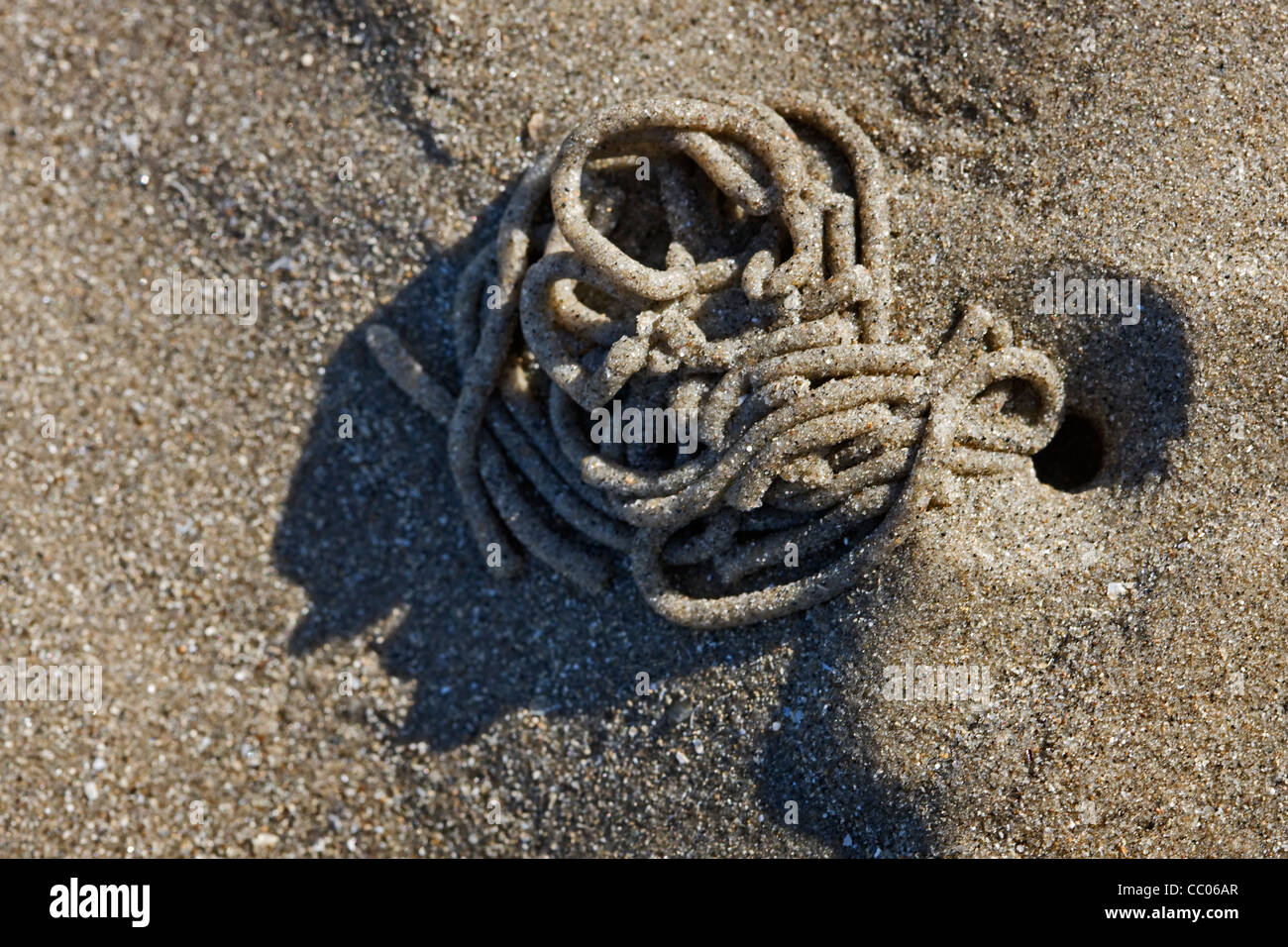 European Lugworm (Arenicola marina) cast of defaecated sediment on beach at low tide, North Sea, Belgium - Stock Image