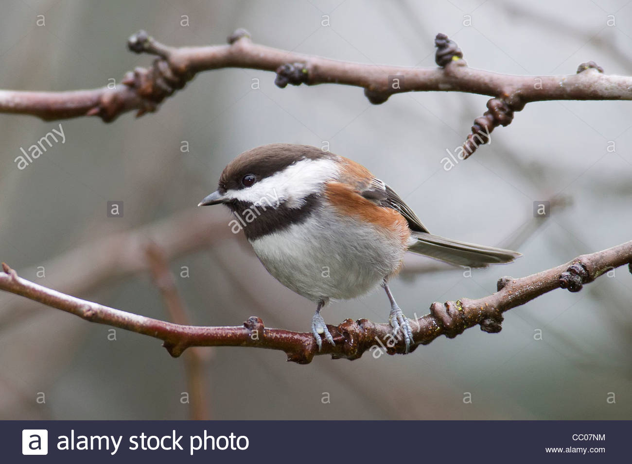 A chestnut-backed chickadee (Poecile rufescens) rests on a bare branch in winter. - Stock Image