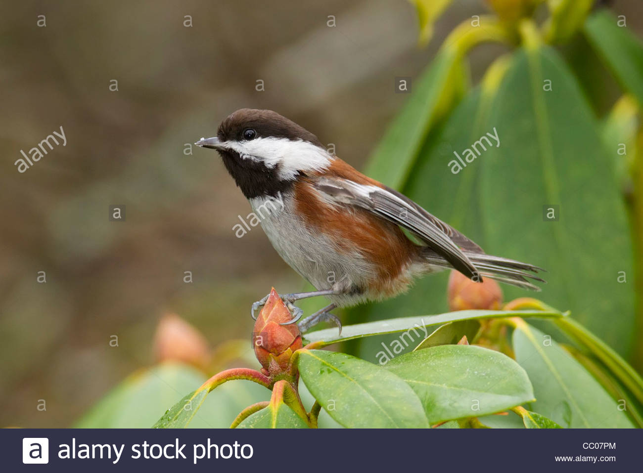 A chestnut-backed chickadee (Poecile rufescens) rests on a rhododendron bud. - Stock Image