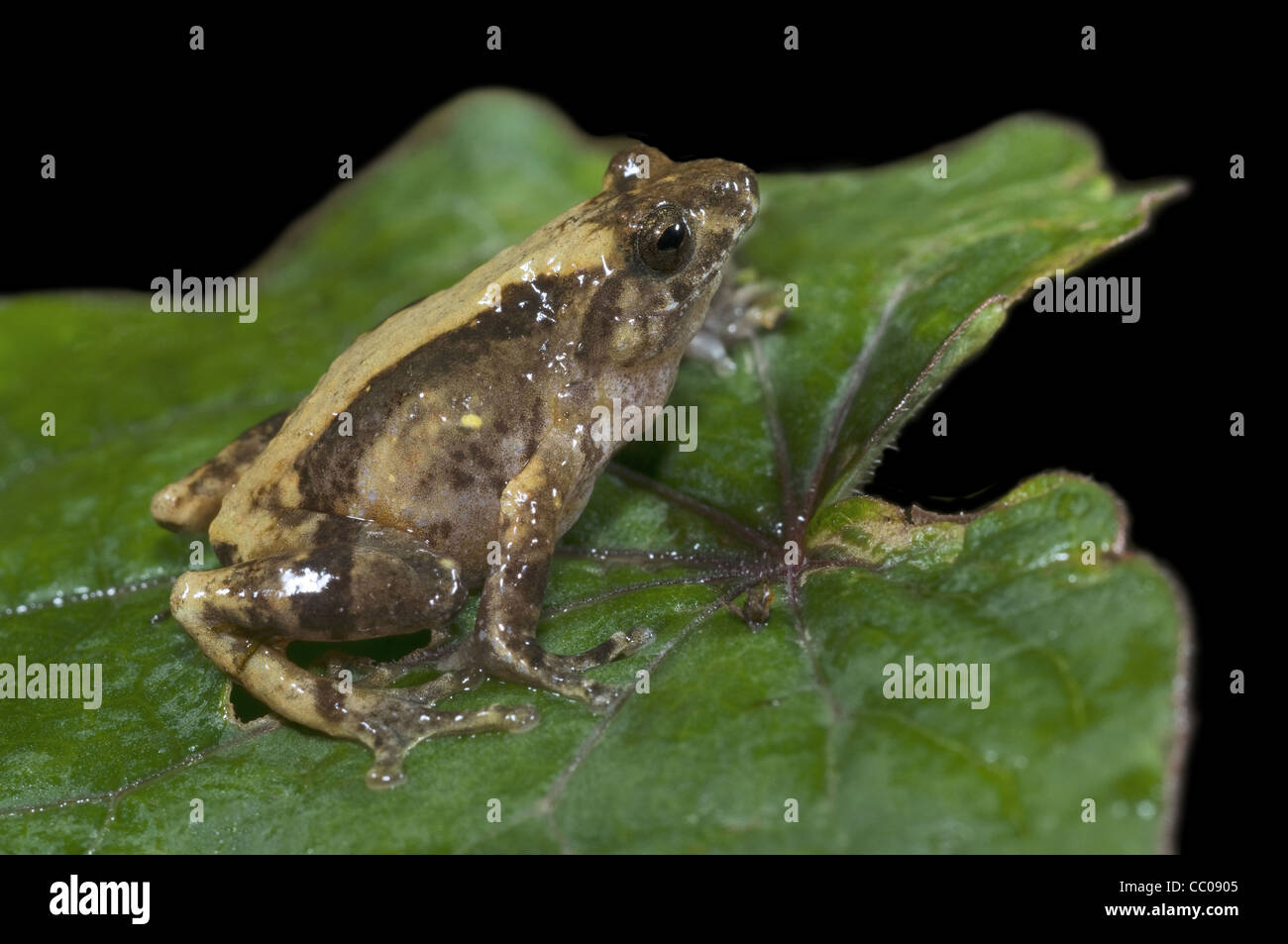 Philautus jerdonii a bush frog from northeast India - Stock Image