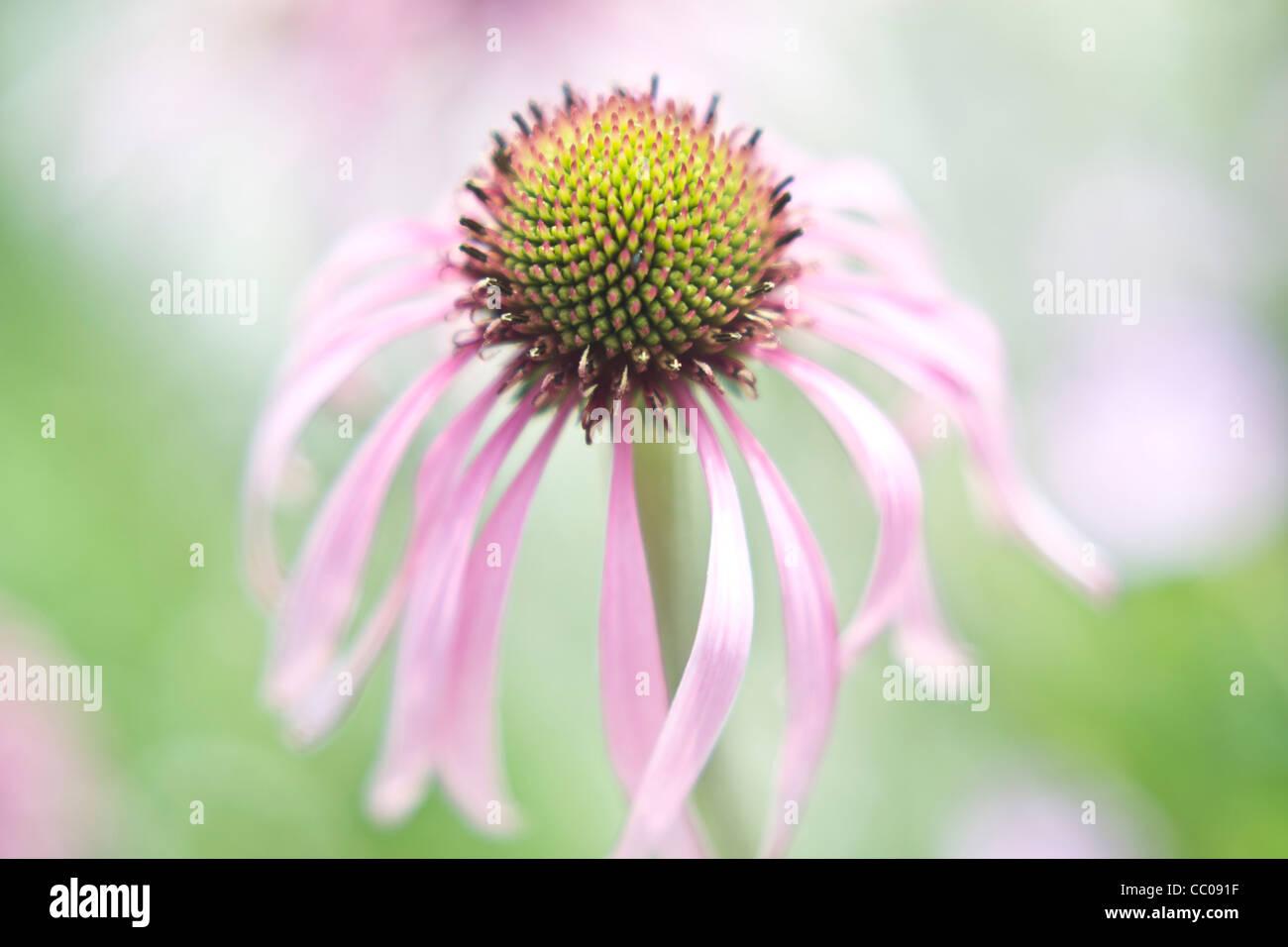 Daisy like flower stock photos daisy like flower stock images alamy a daisy like flower stock image izmirmasajfo