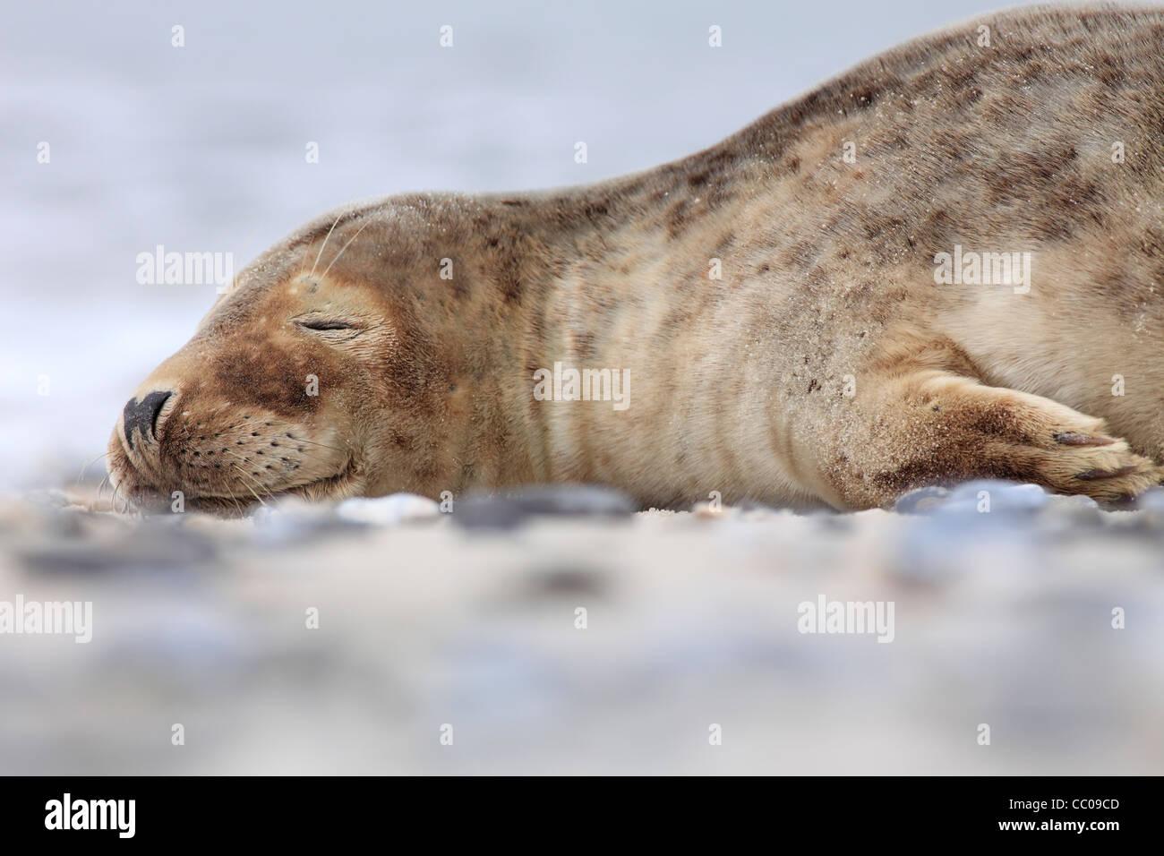sleeping young grey seal; Latin: Halichoerus grypus - Stock Image