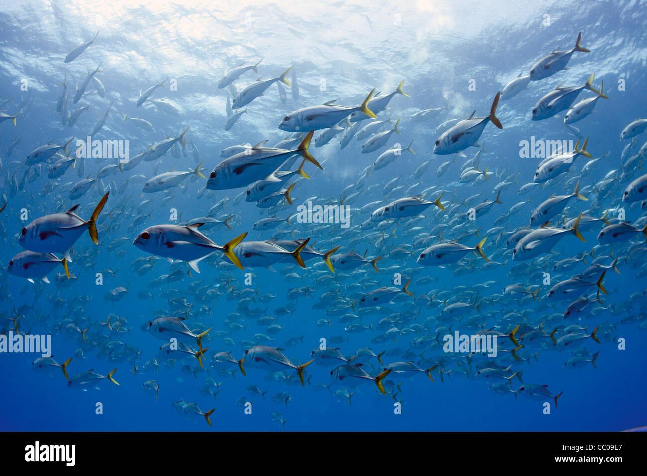A large school of horse-eye jacks (Caranx latus) off the coast of Cuba. - Stock Image