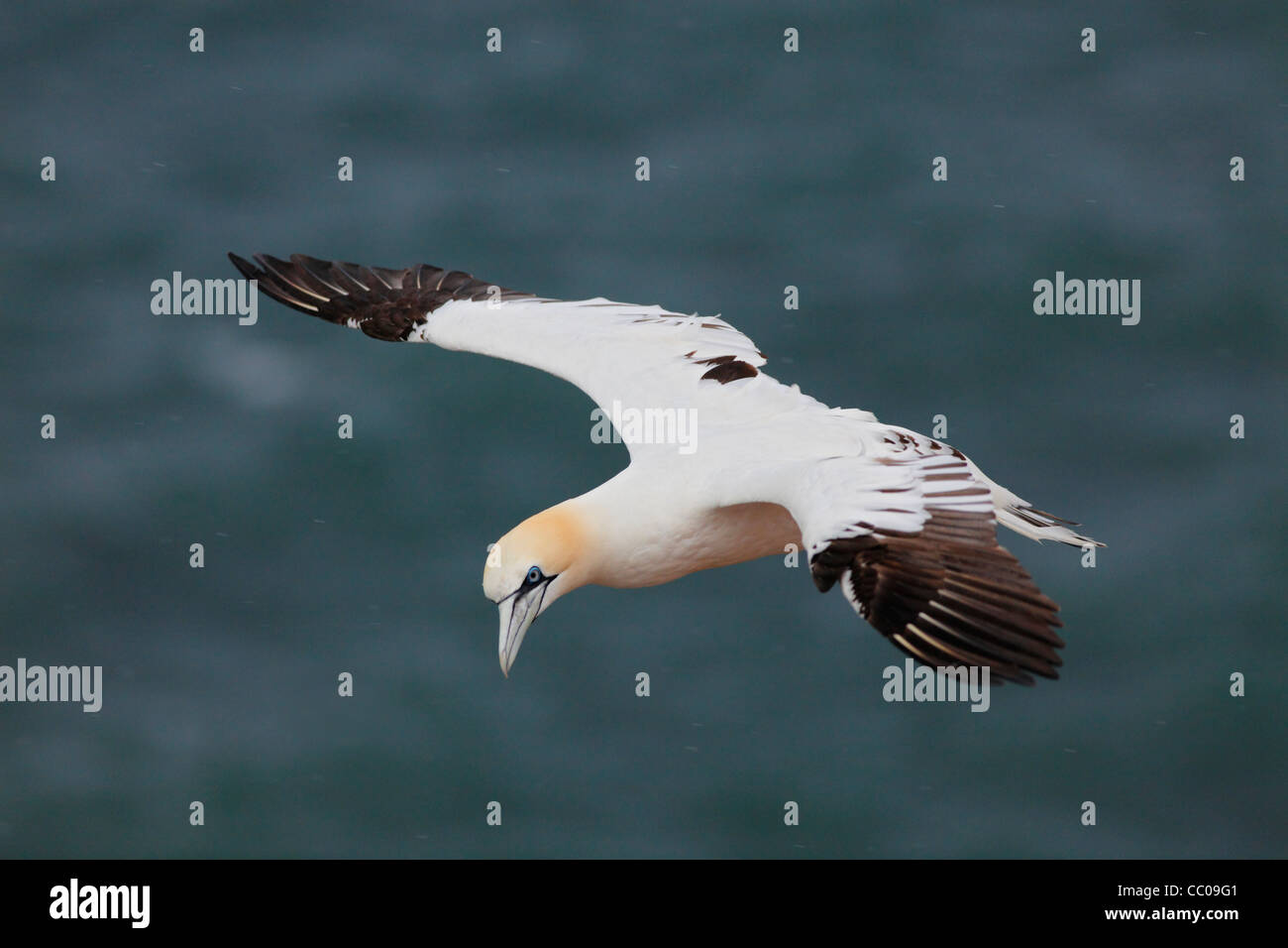 Northern gannet in rain and storm; Latin: Morus bassanus (visible raindrops at 100%) - Stock Image