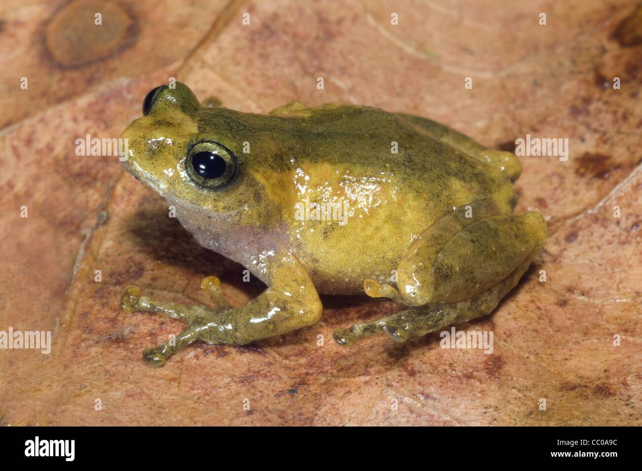 Philatus species, a bush frog from northeast India - Stock Image