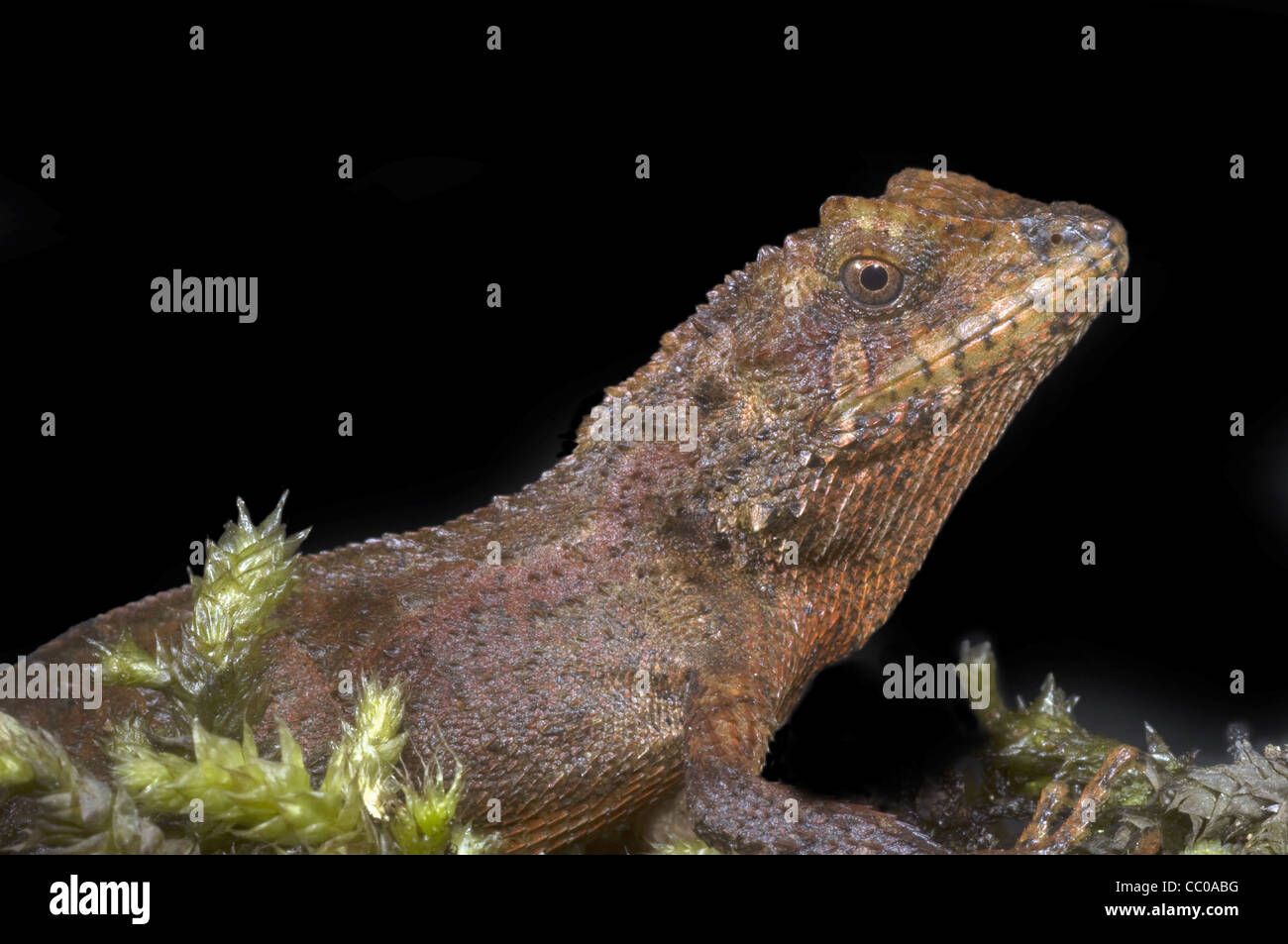 ANDERSON'S MOUNTAIN LIZARD, Japalura andersoniana, an agamid species from northeast India - Stock Image