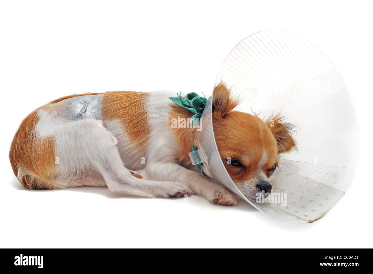 a chihuahua wearing a protective veterinary collar after a surgical operation - Stock Image