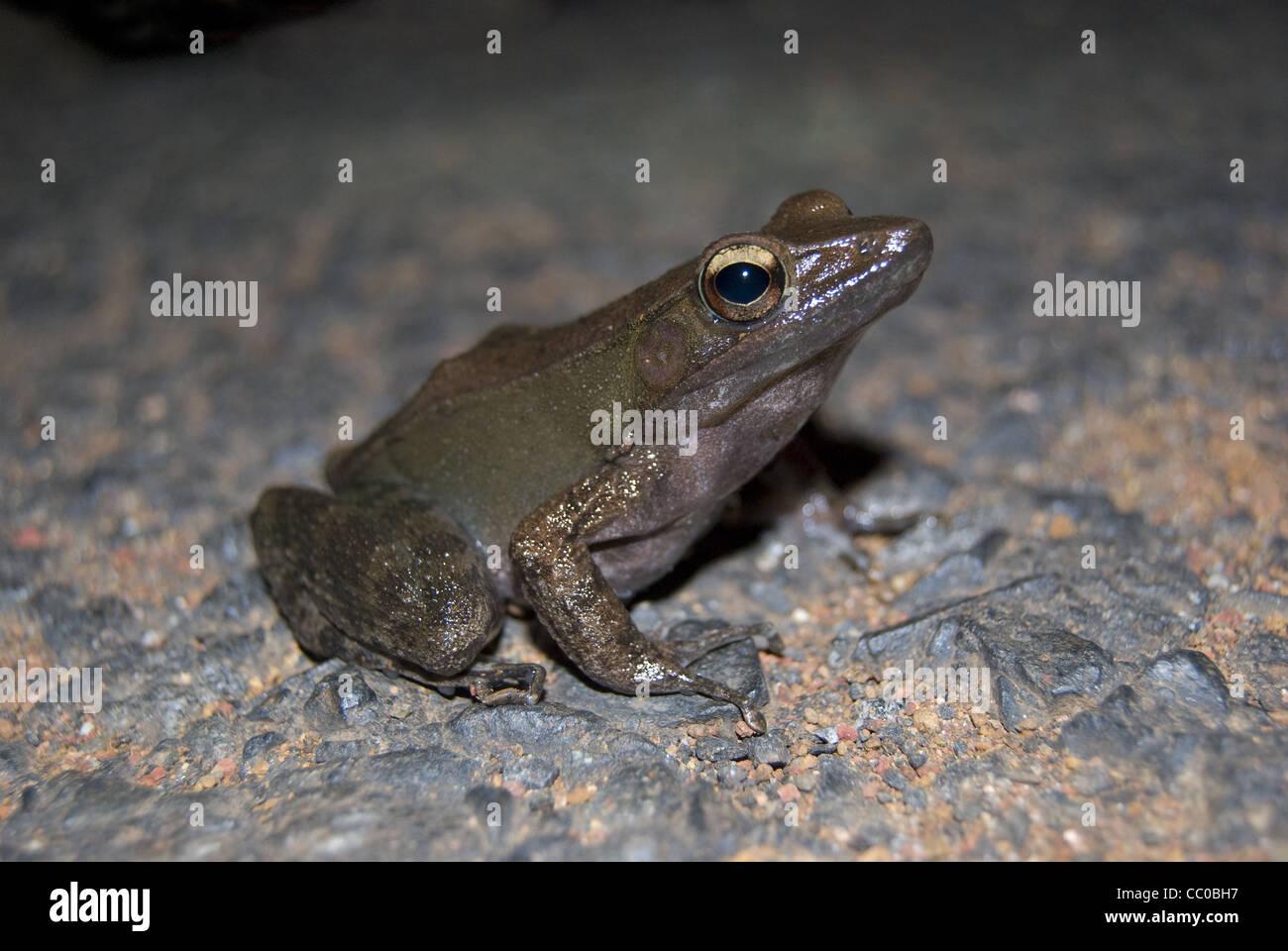 The bronzed frog (Hylarana temporalis) - Stock Image