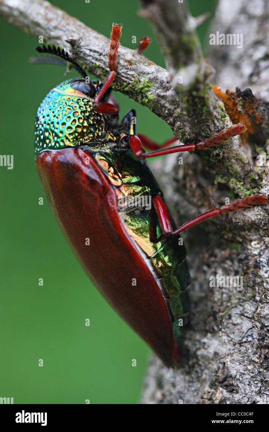 The jewel beetles (Buprestidae) - Stock Image