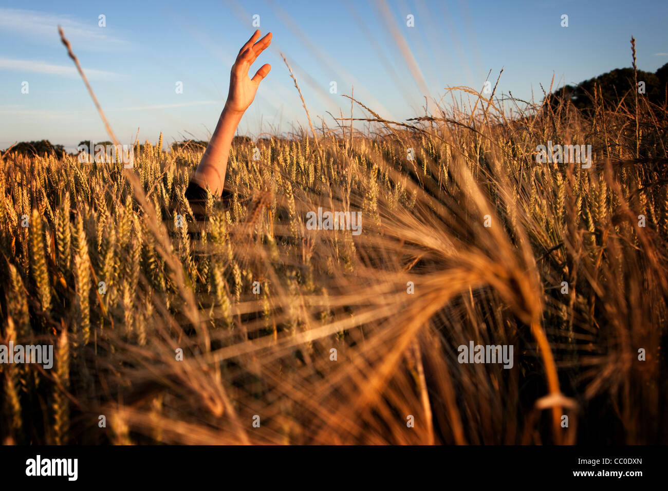 CHILD'S HAND RISING OUT OF A WHEAT FIELD, FRANCE - Stock Image
