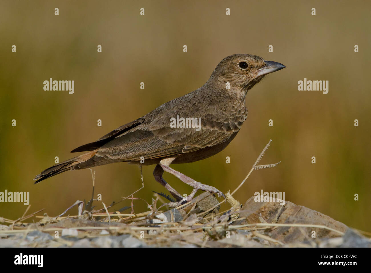 Rufous-tailed lark or Rufous-tailed Finch-Lark - Stock Image