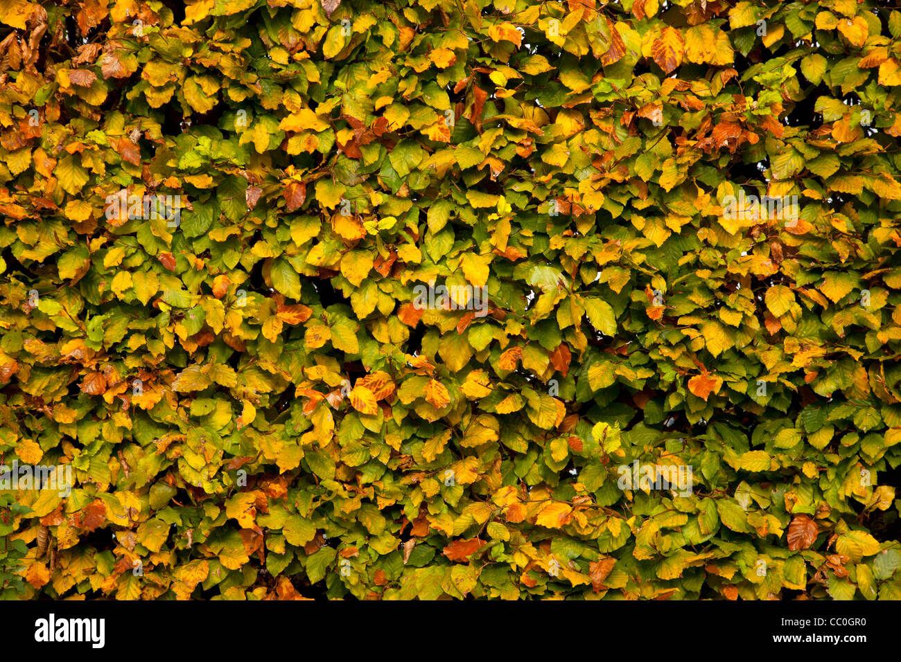full frame shot of beech hedge with autumn colour leaves in garden - Stock Image