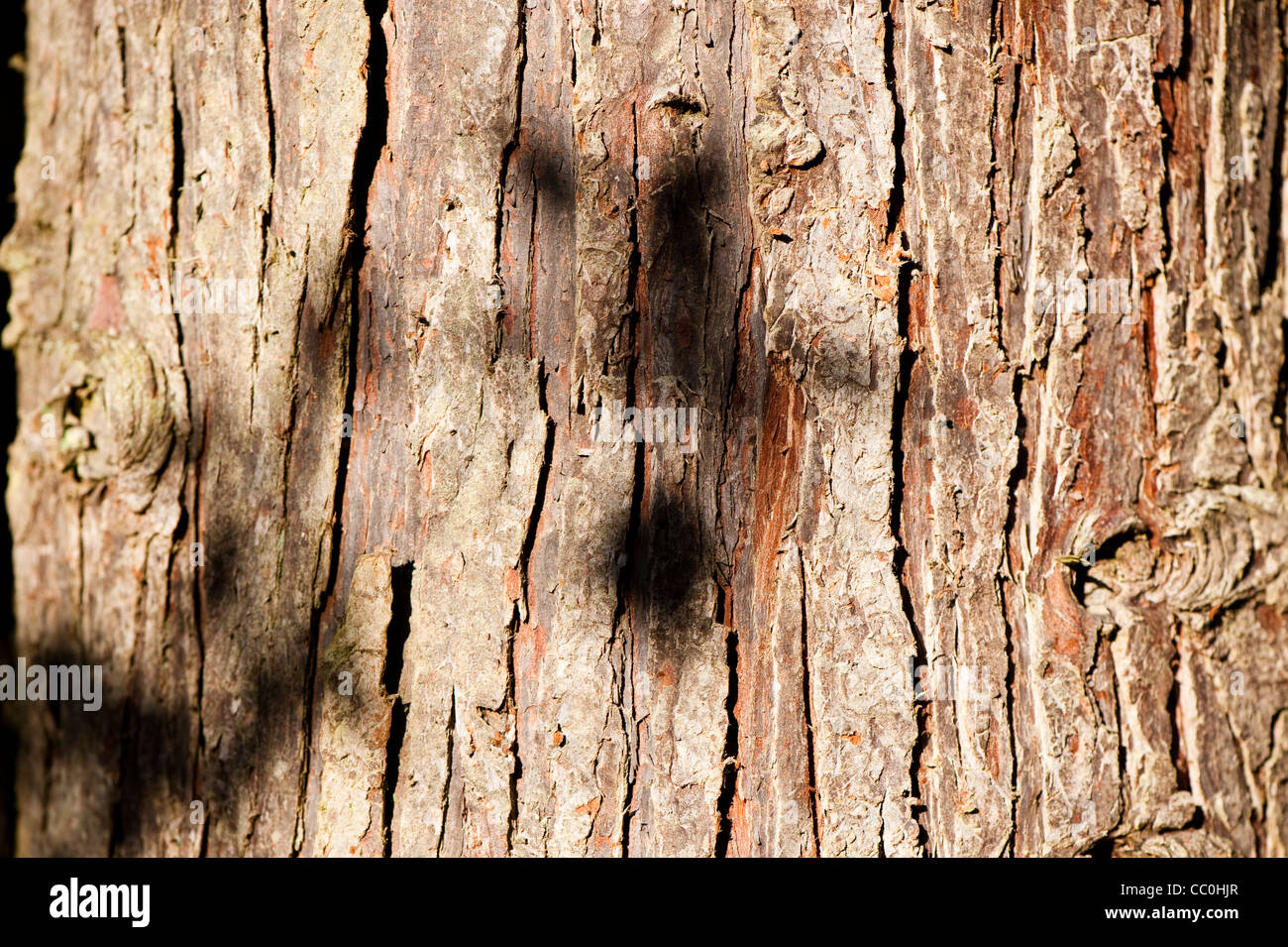 Bark of a Chamaecyparis lawsoniana, Lawson Cypress, tree - Stock Image