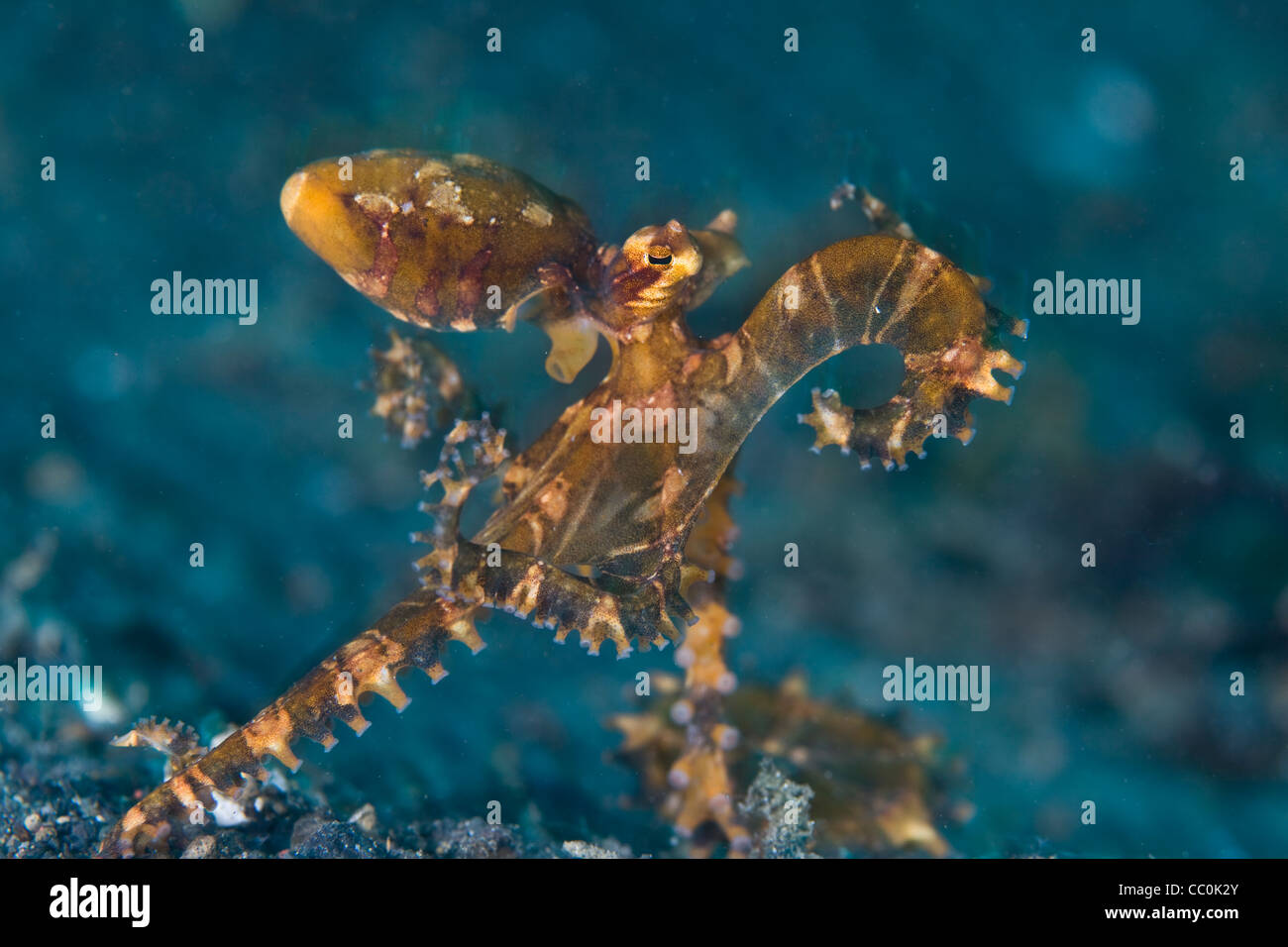 A Wunderpus octopus (Wunderpus photogenicus) uses its eight arms to walk across the bottom of a sand slope in Lembeh - Stock Image