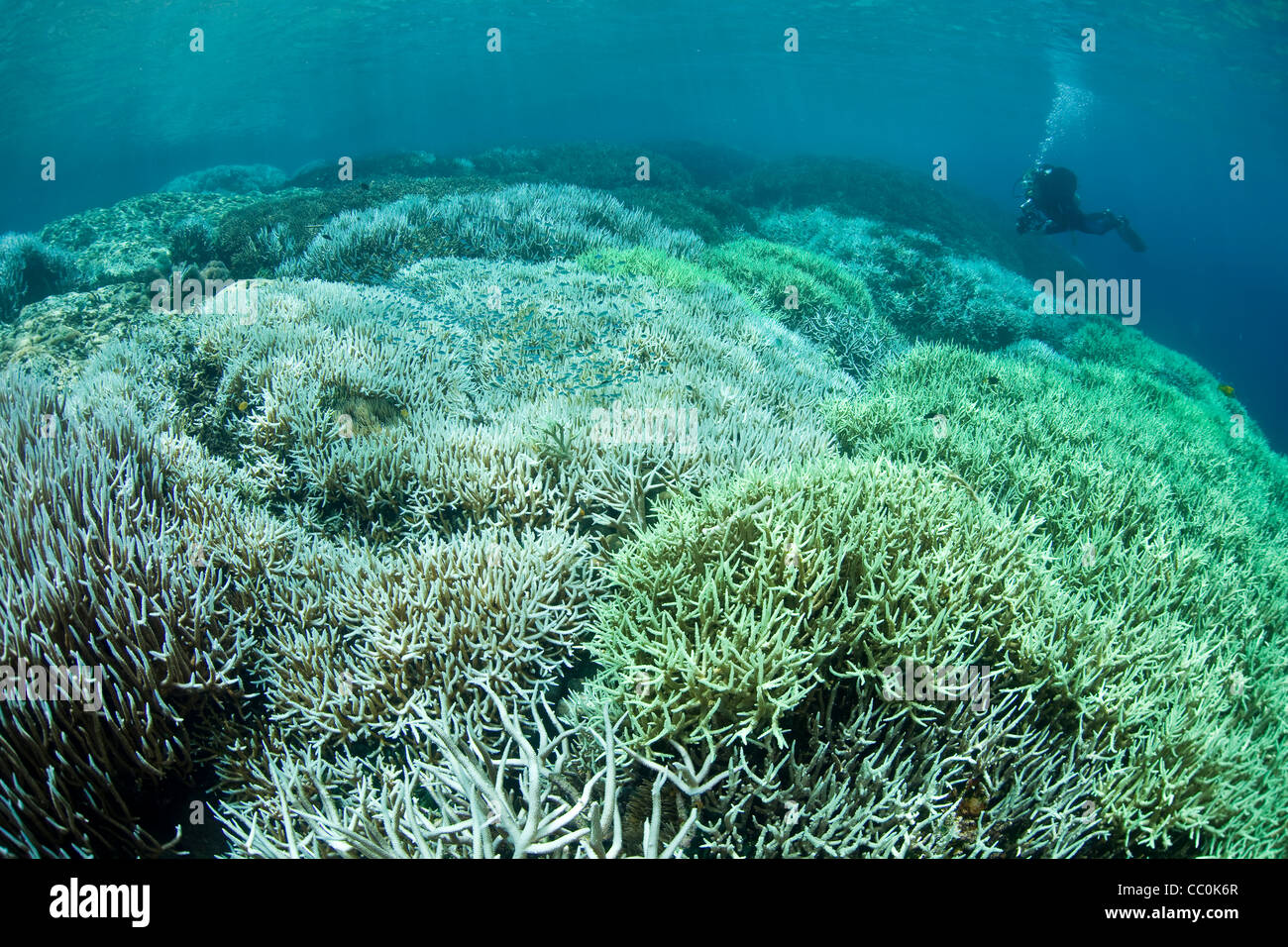 Bleached corals, Acropora spp., and diver. Corals bleach when high water temperatures cause them to expel their - Stock Image
