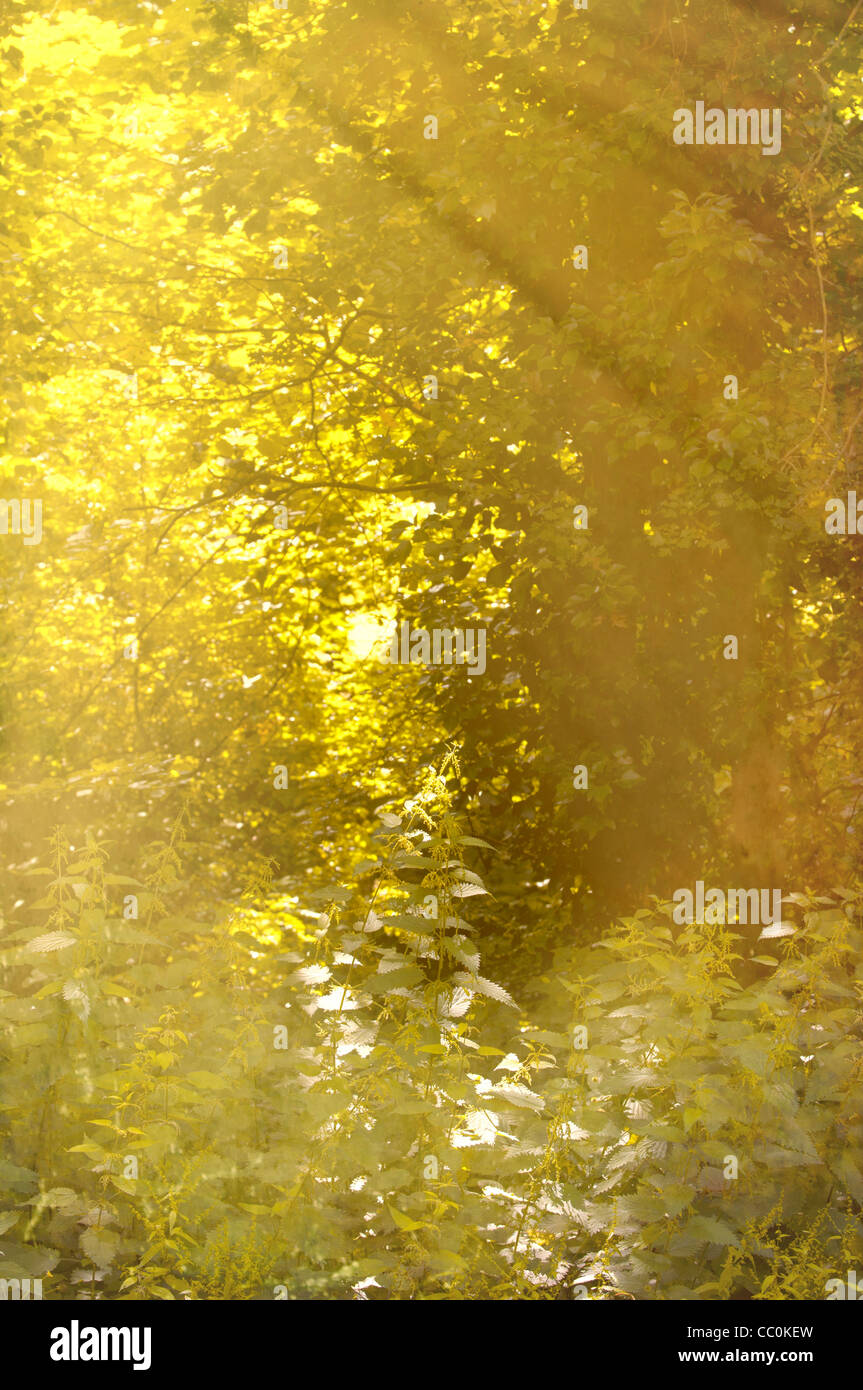 Sunlight on an enchanted forest - Stock Image