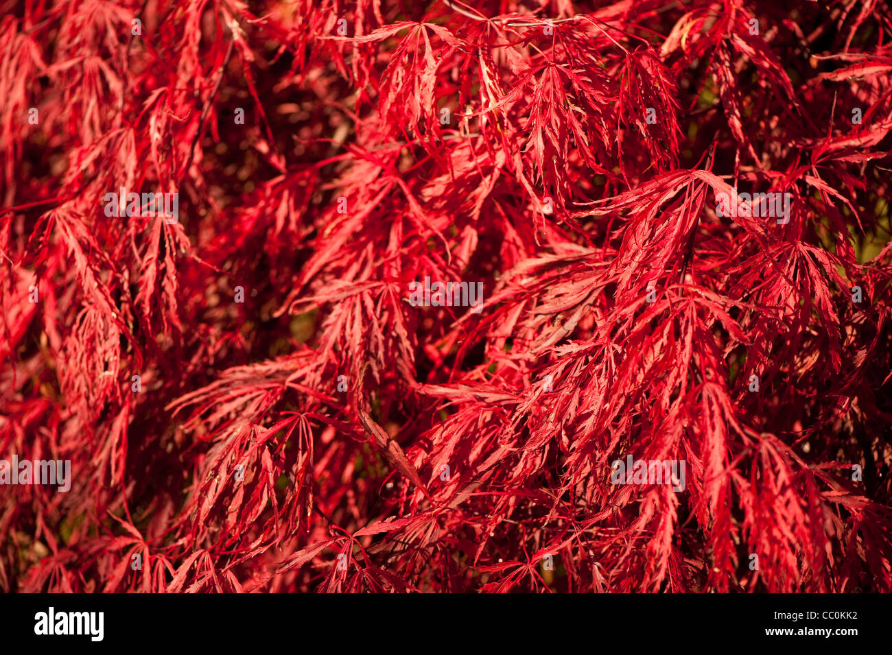 Acer Palmatum Var Dissectum Crimson Queen Japanese Maple Crimson