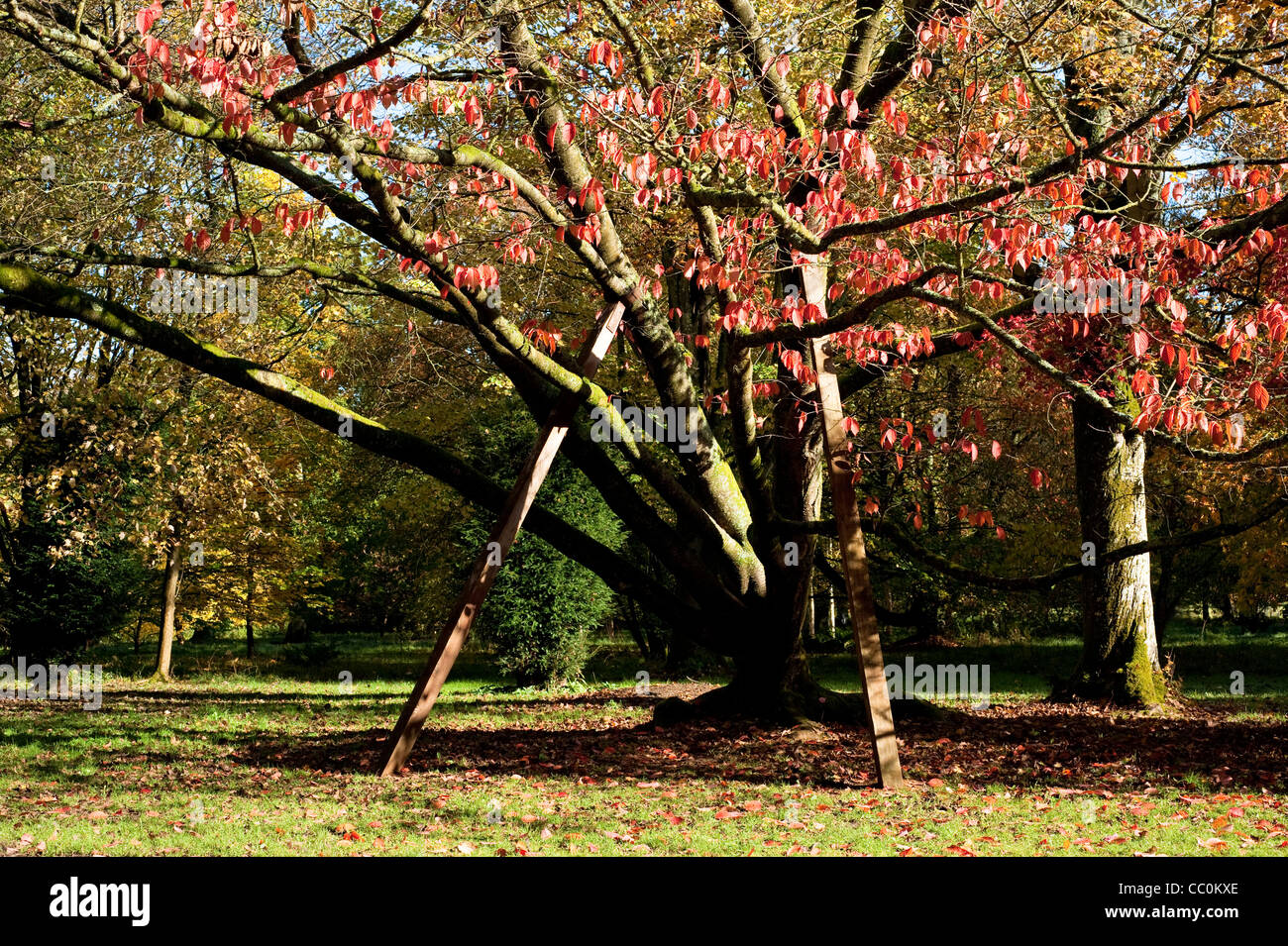 Prunus Sargentii, Sargent's Cherry tree, in autumn Stock Photo