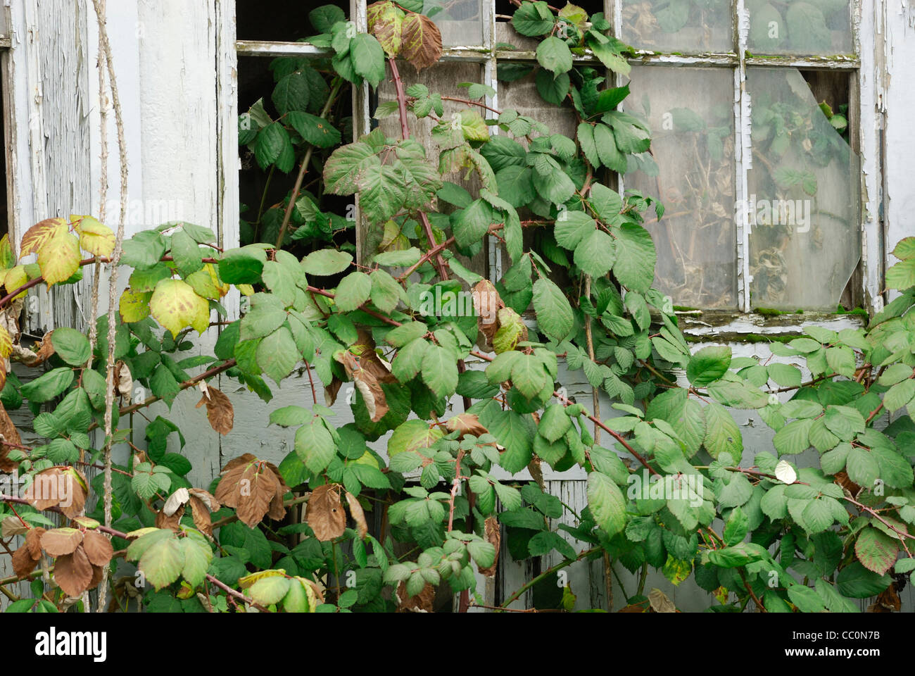 Brambles growing through an old building's broken window panes. - Stock Image