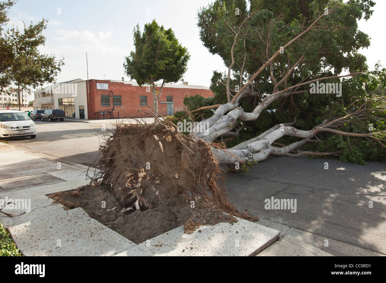 A collapsed tree due to severe winds. Hurricane strength winds knocked down a huge number of trees. - Stock Image