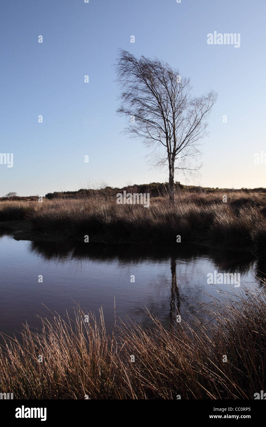 Lone birch tree and reflection in pond, Waldridge Fell, Site of Special Scientific Interest, north east England - Stock Image