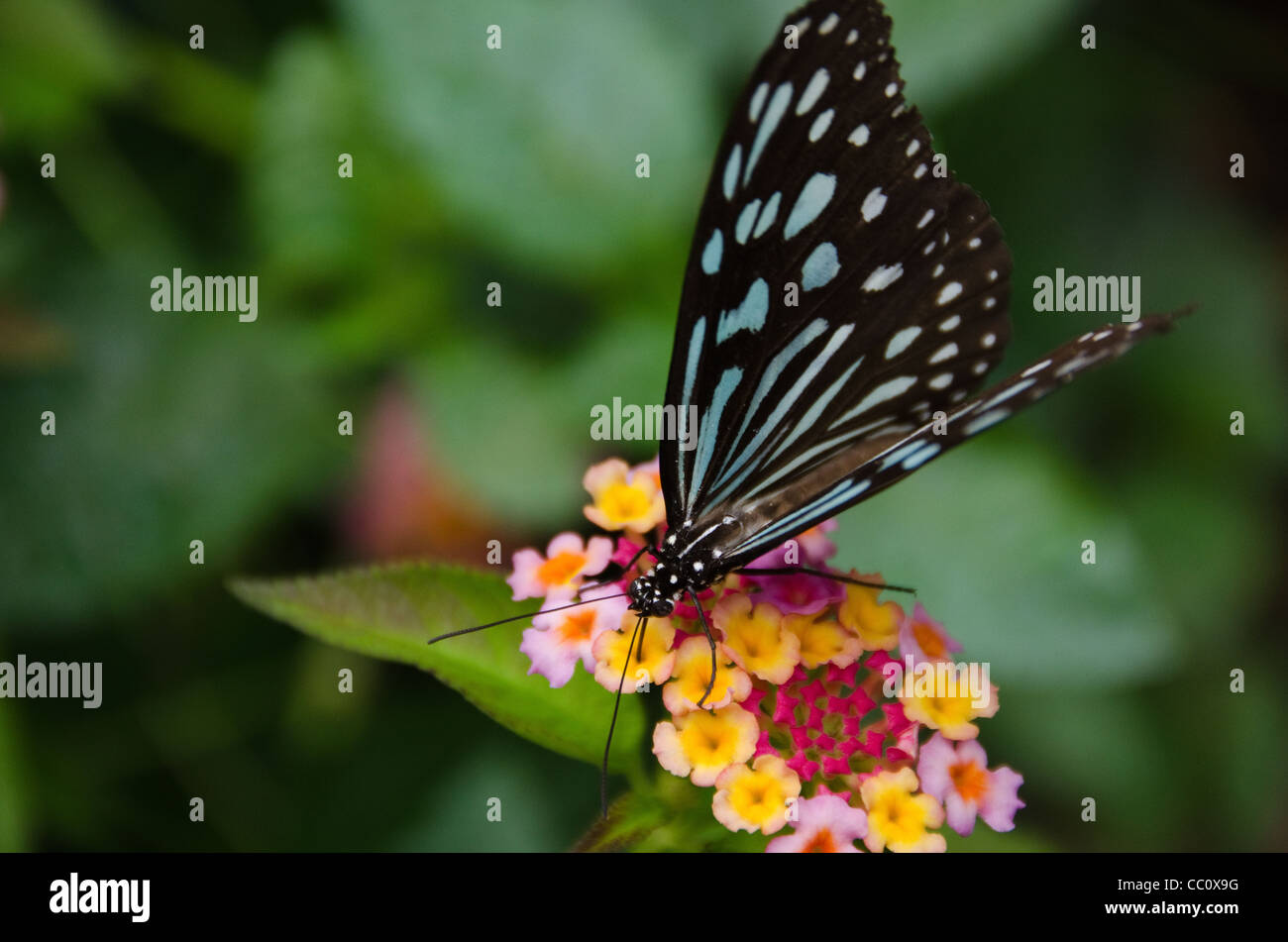 Blue butterfly, Ideopsis sp. from Japan sitting and feeding nectar on a flower - Stock Image