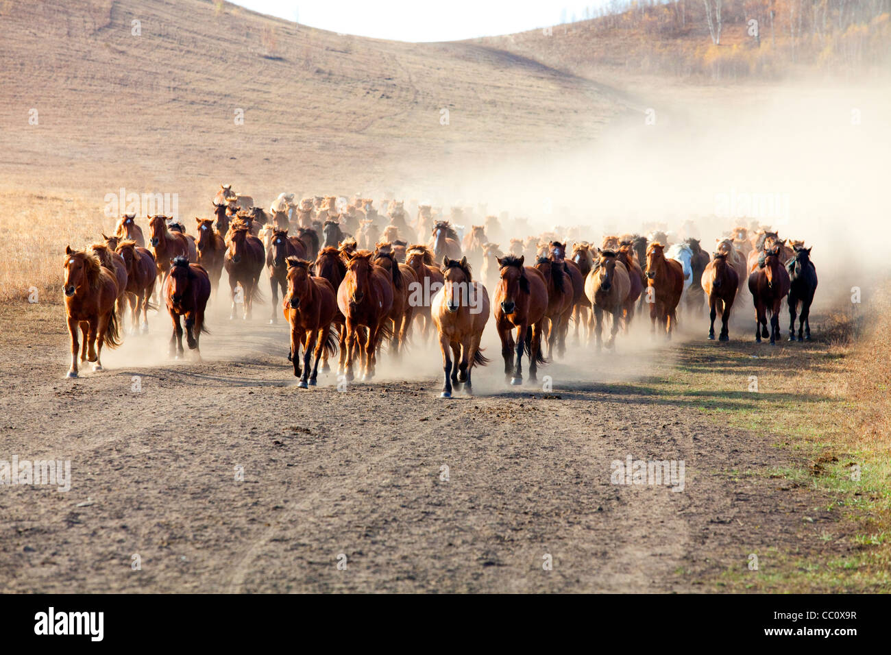 A herd of horses running in Inner Mongolia - Stock Image