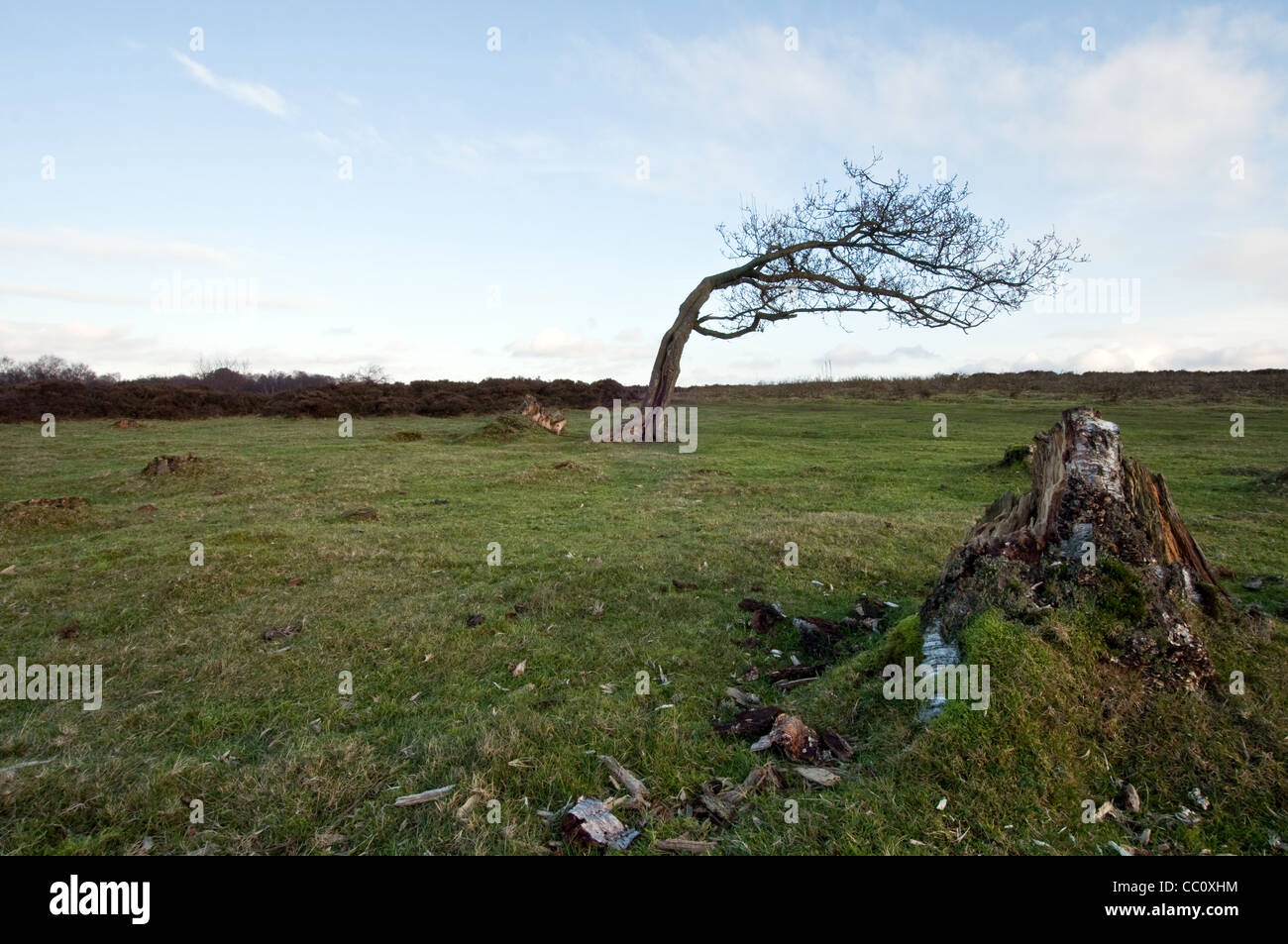 Tree on Stanton Moor Derbyshire affected by the prevailing wind - Stock Image
