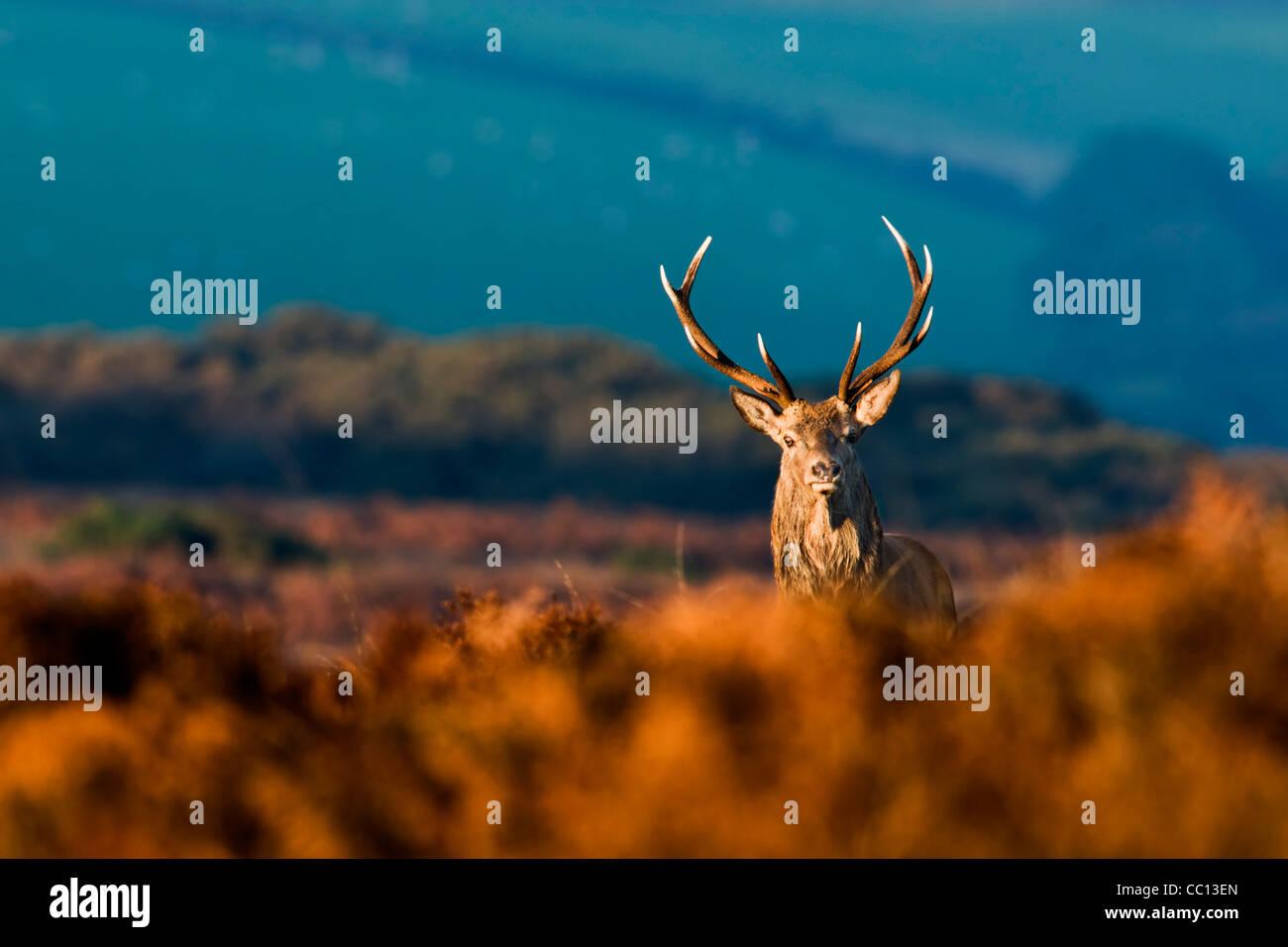 Red Deer stag in golden sunlight - Stock Image