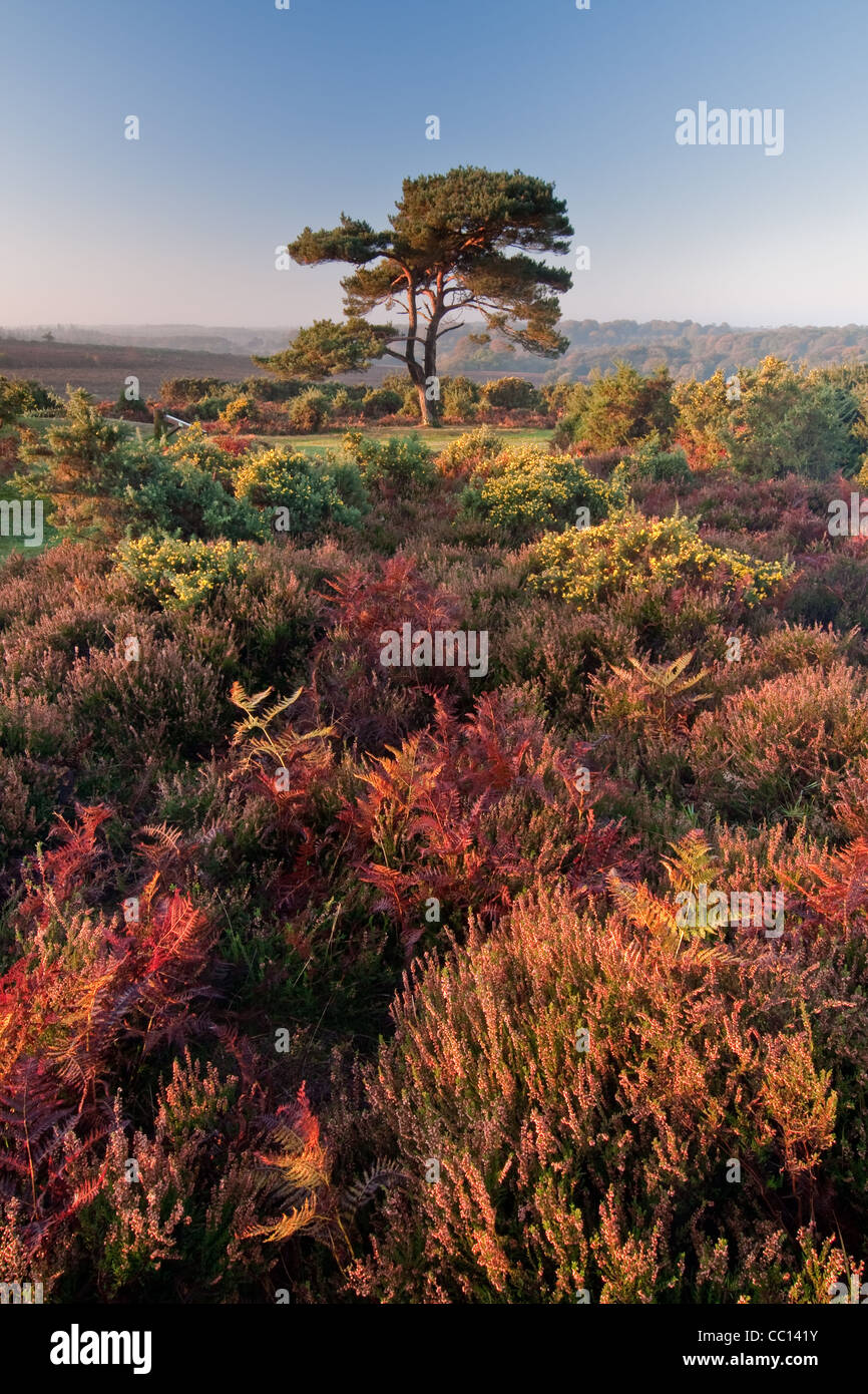 Single Lone Pine at Bratley View New Forest Stock Photo